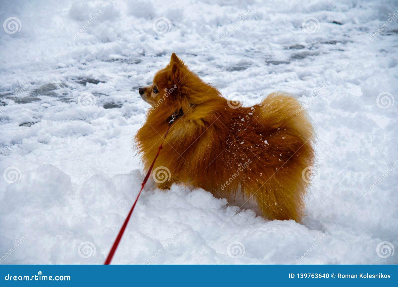 Ein kleiner Hund der Spitzzucht mit einem schönen starken roten Pelz