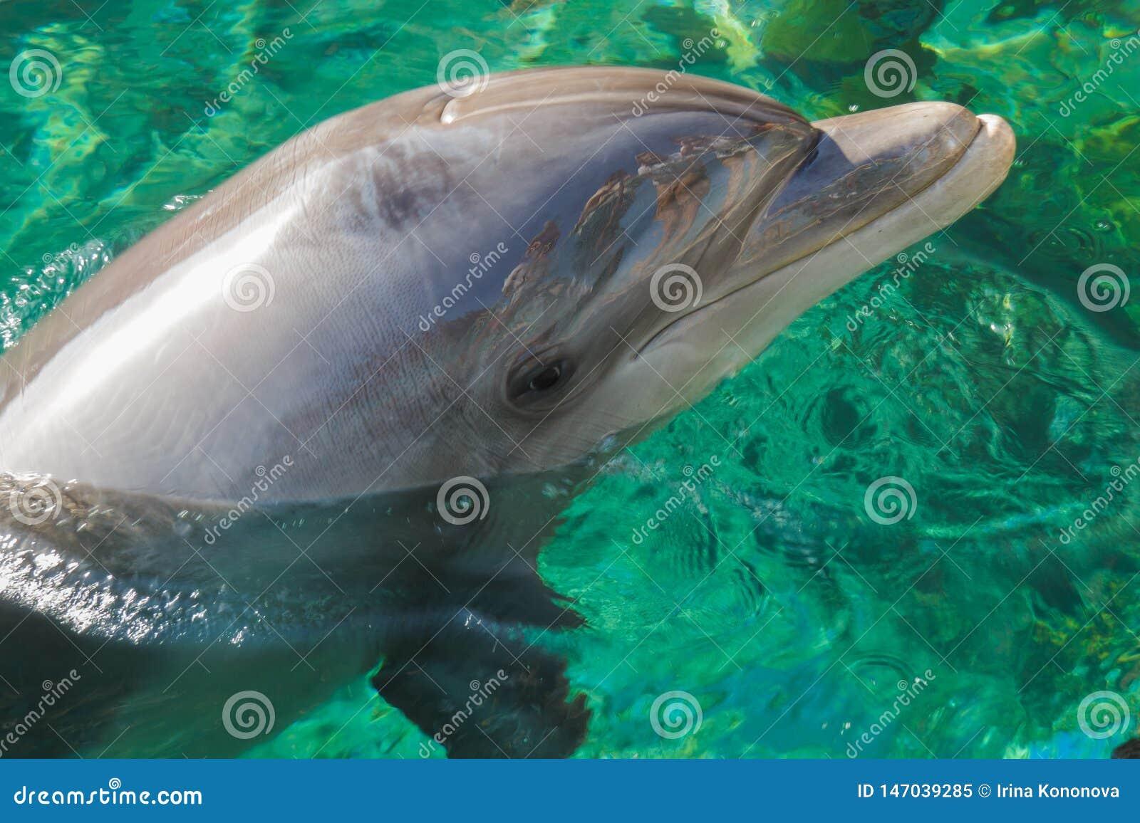 Ein lächelnder Delphin taucht vom Wasser auf Zuschauer denken über seine glänzende Oberfläche nach