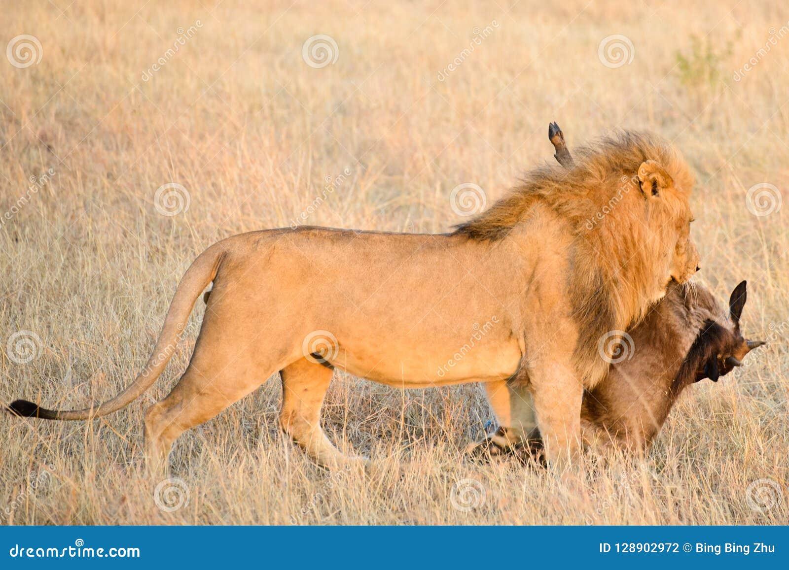 Ein männlicher Löwe mit seinem Opfer