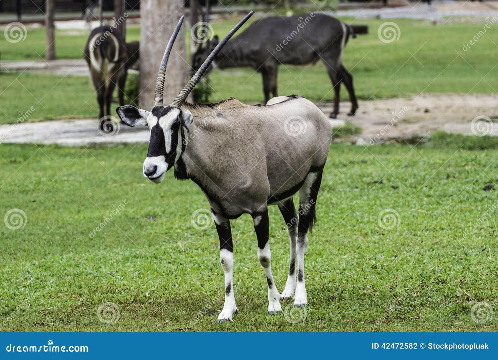 Ein männlicher Nyala ist offener Zoo Khao Kheow