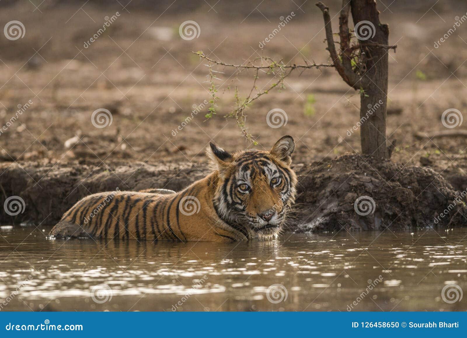 Ein männliches Tigerjunges, das ihren Durst im heißen Sommer an Nationalpark Ranthambore löscht