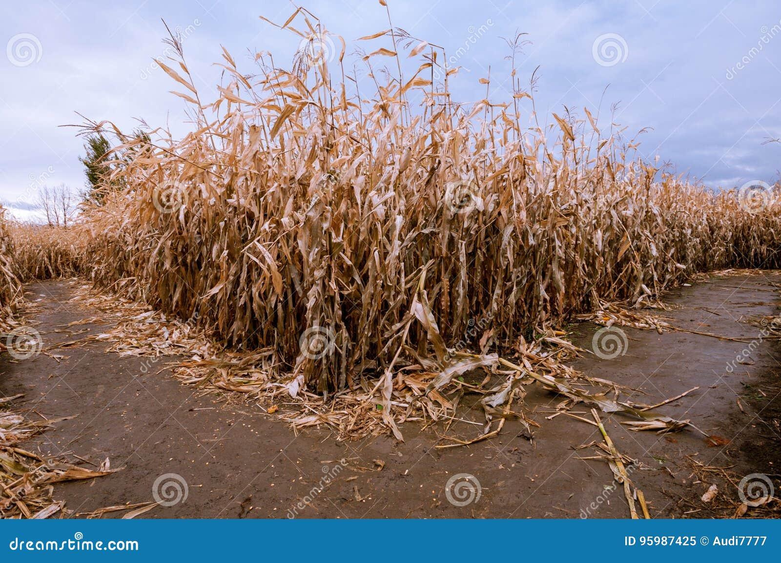 Ein Mais Maze Fork in der Straße in der Abfallzeit