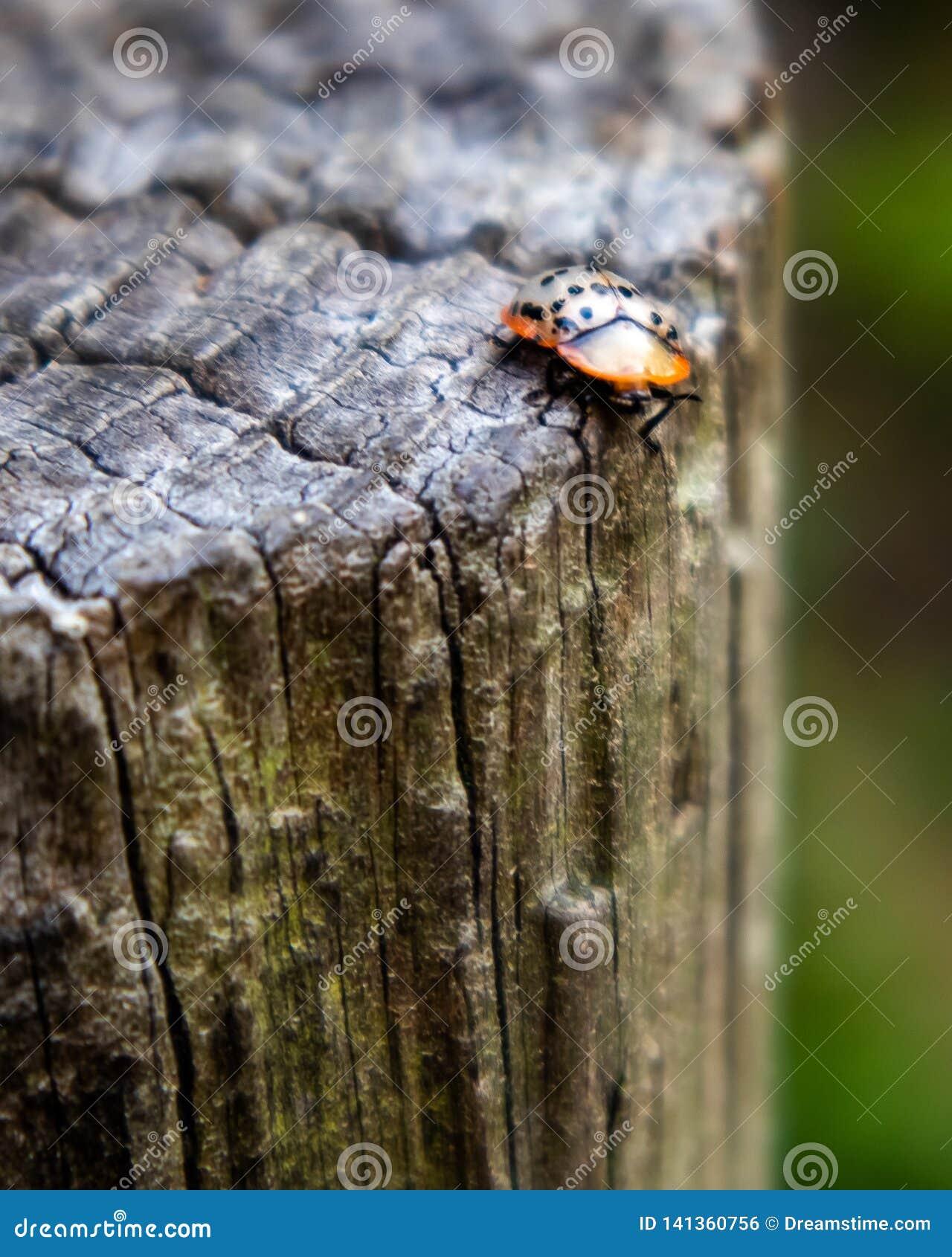 Ein Marienkäfer auf einem treestump