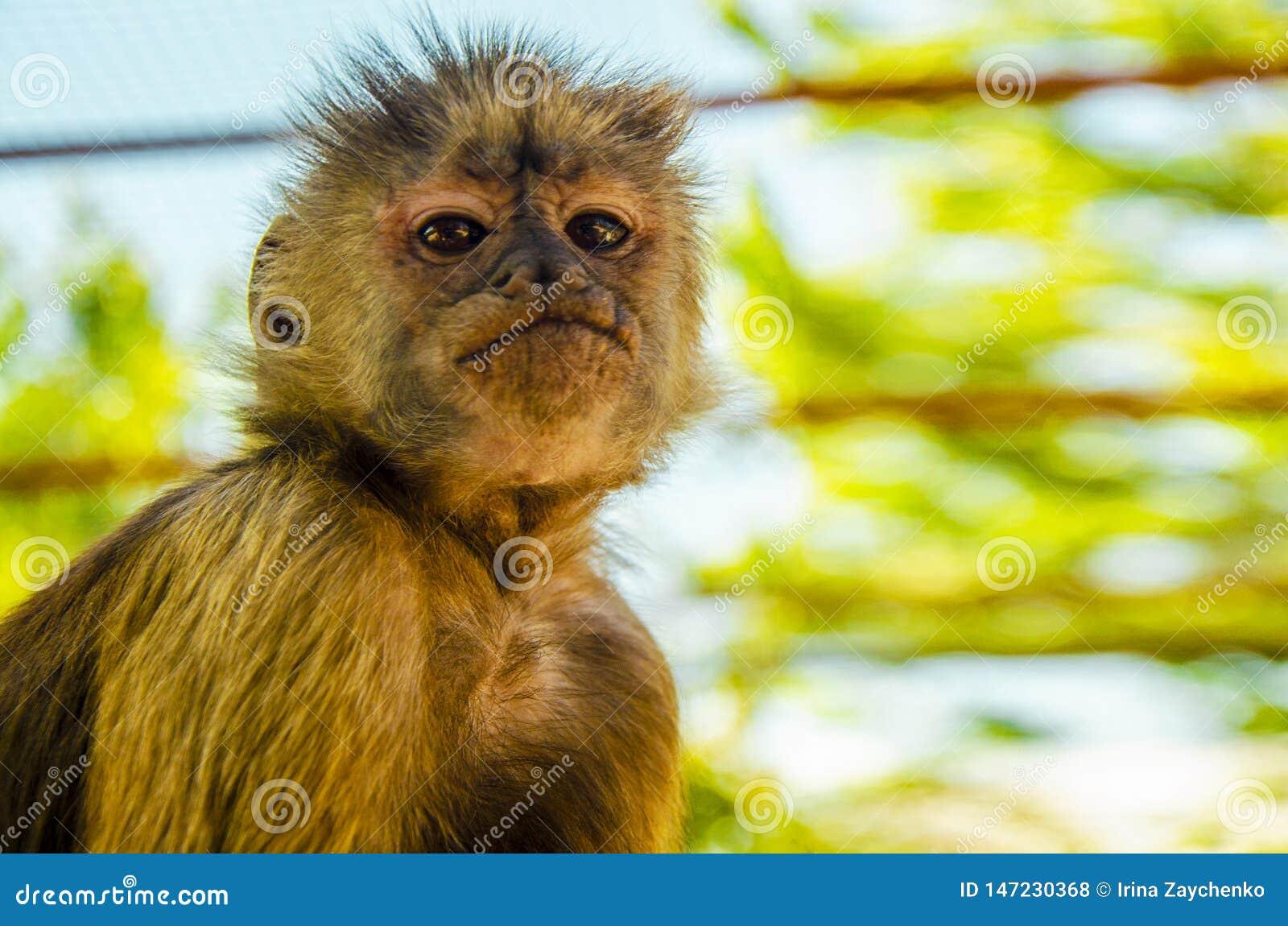 Ein näherer Blick des Affen, wilde Natur
