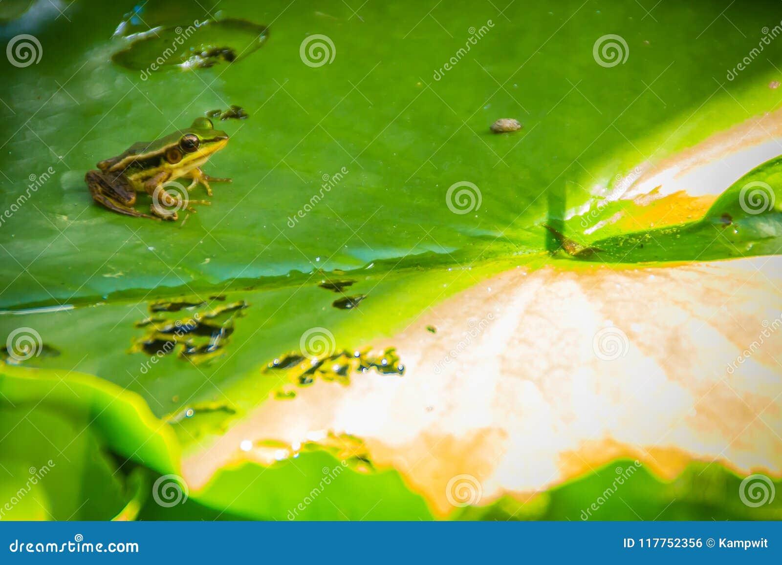 Der grüne frosch im teich