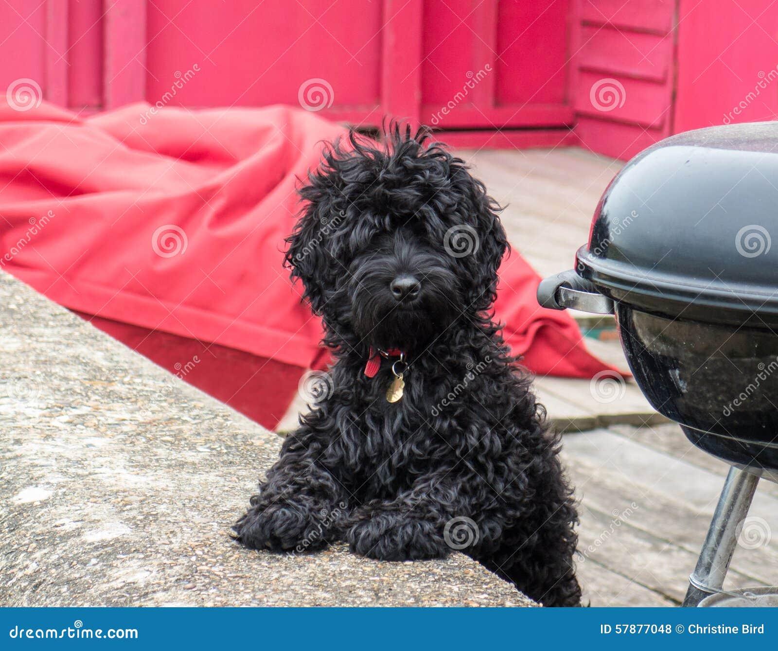 Ein netter schwarzer flaumiger Hund, der Kamera betrachtet