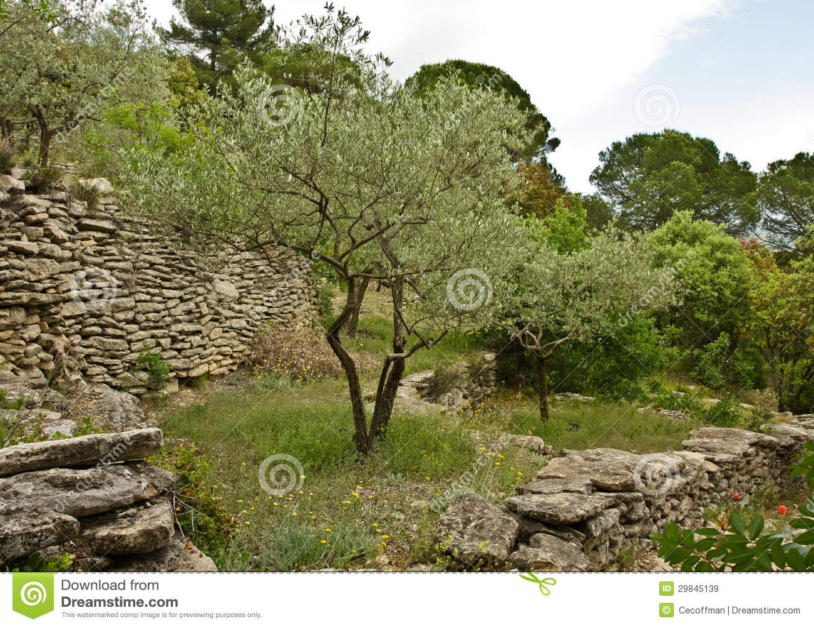 olivenbaum im garten lizenzfreie stockbilder bild 29845139. Black Bedroom Furniture Sets. Home Design Ideas