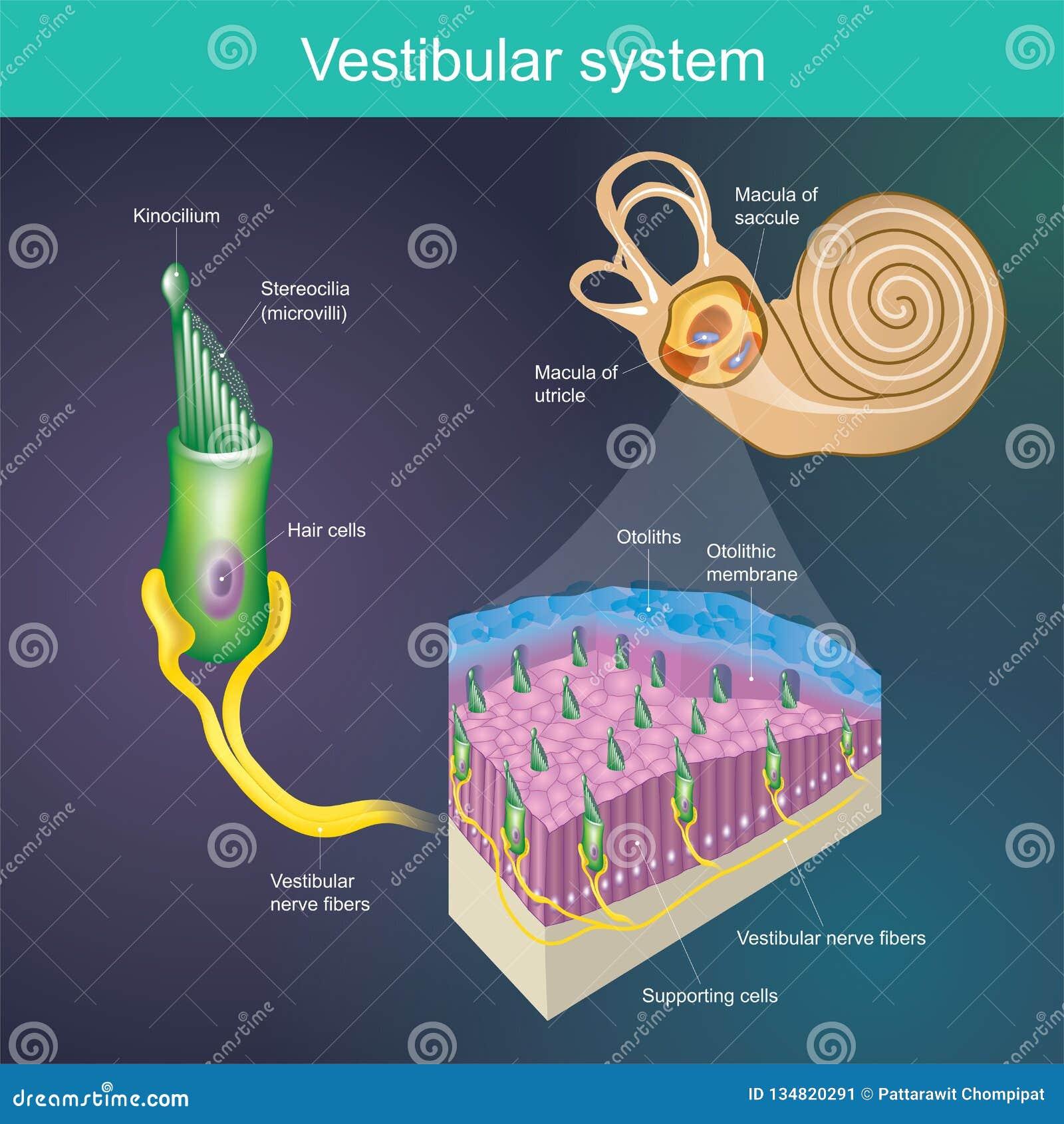 Ein Organ, das die Balance des Körpers bestimmt Und die Richtung des Körpers Vestibuläres System ist es ein Teil des hearin des S