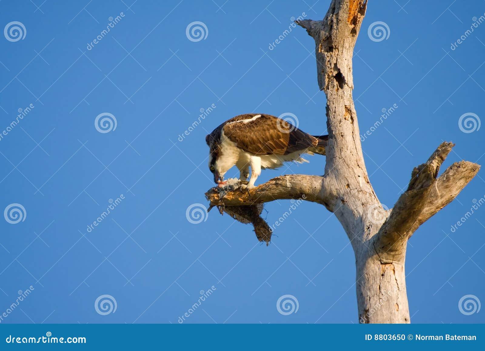Ein Osprey zerreißt das Fleisch von einem Fisch