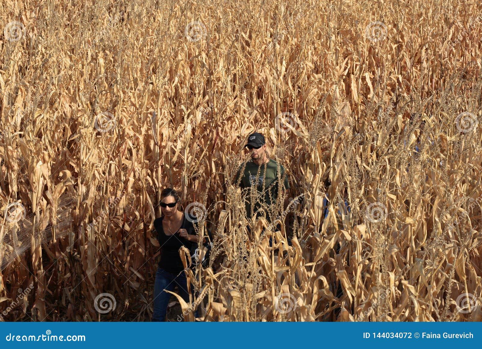 Ein Paar, das durch das Maislabyrinth am Falltag nahe Denver, Colorado geht