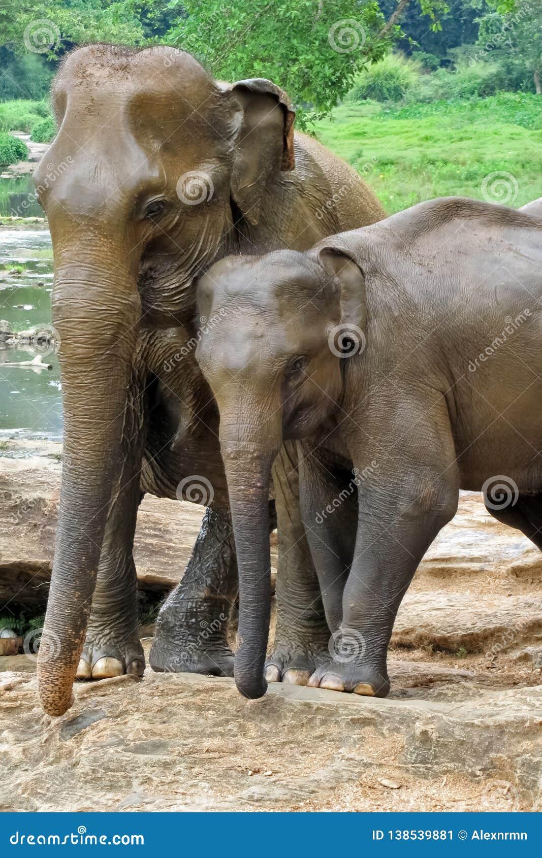 Ein Paar Elefanten in der Liebe