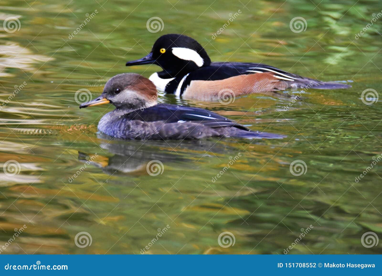 Ein Paar Kappensägerschwimmen im Teich