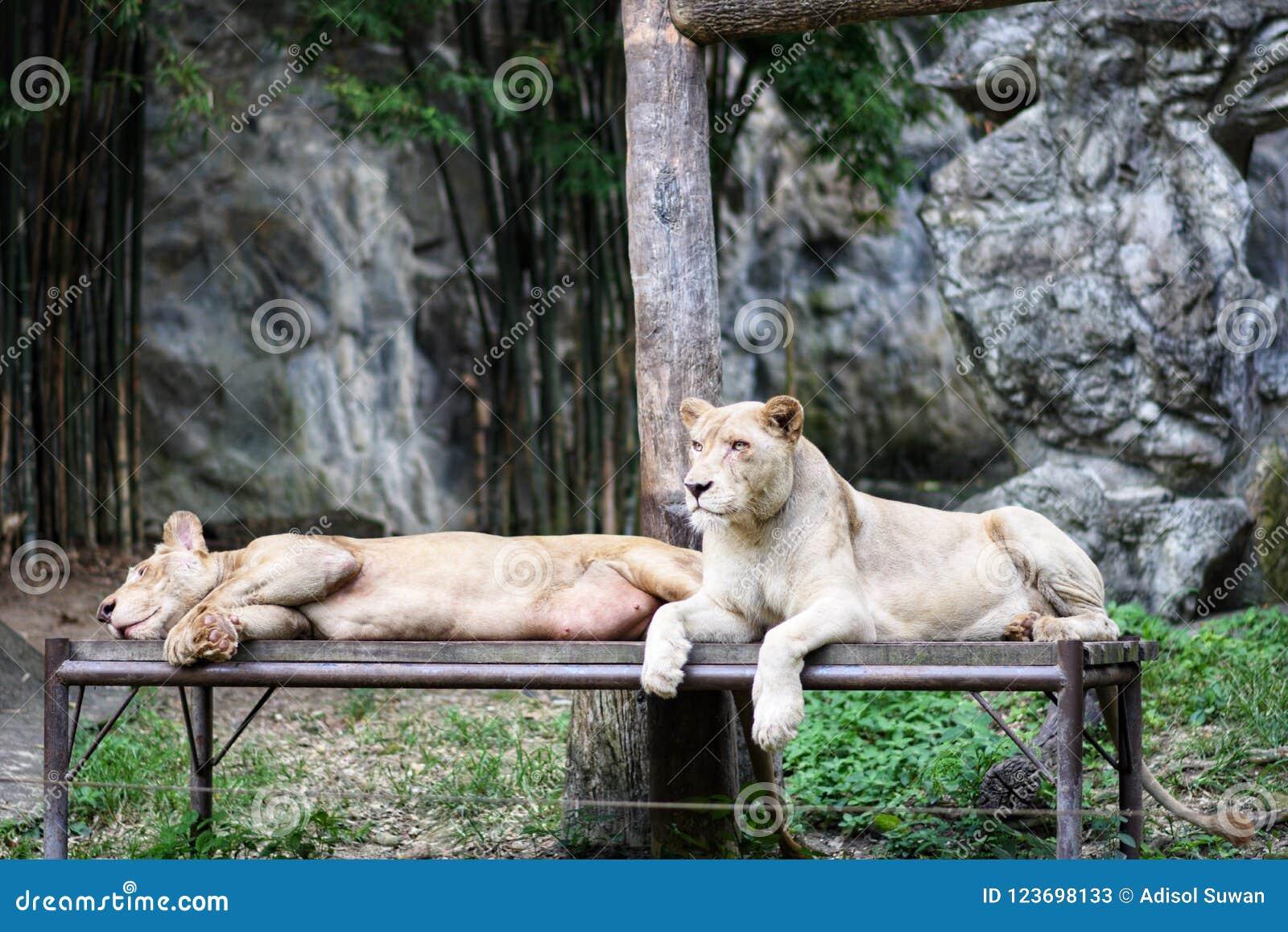 Ein paar Löwe
