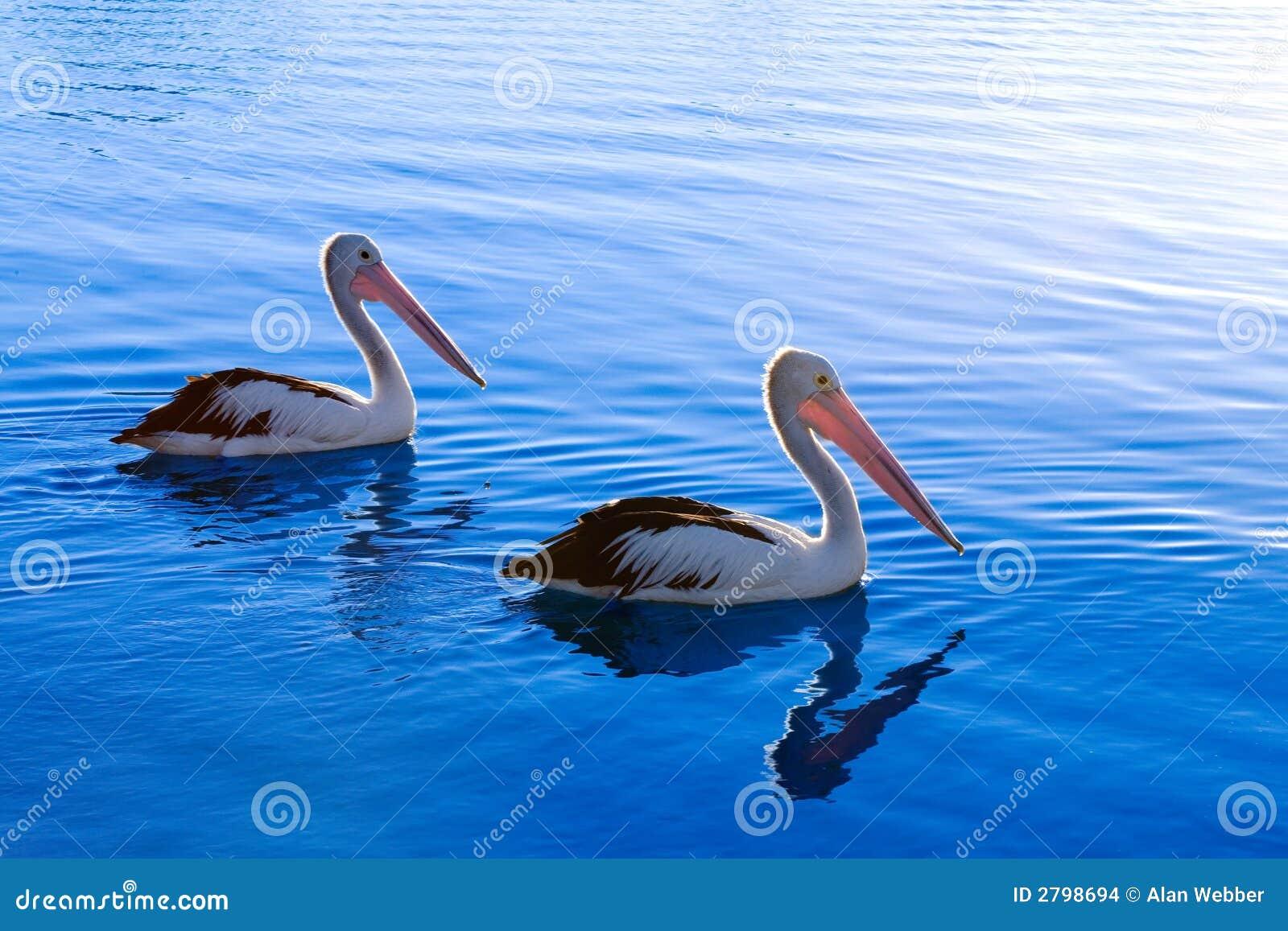 Ein Paar Pelikane