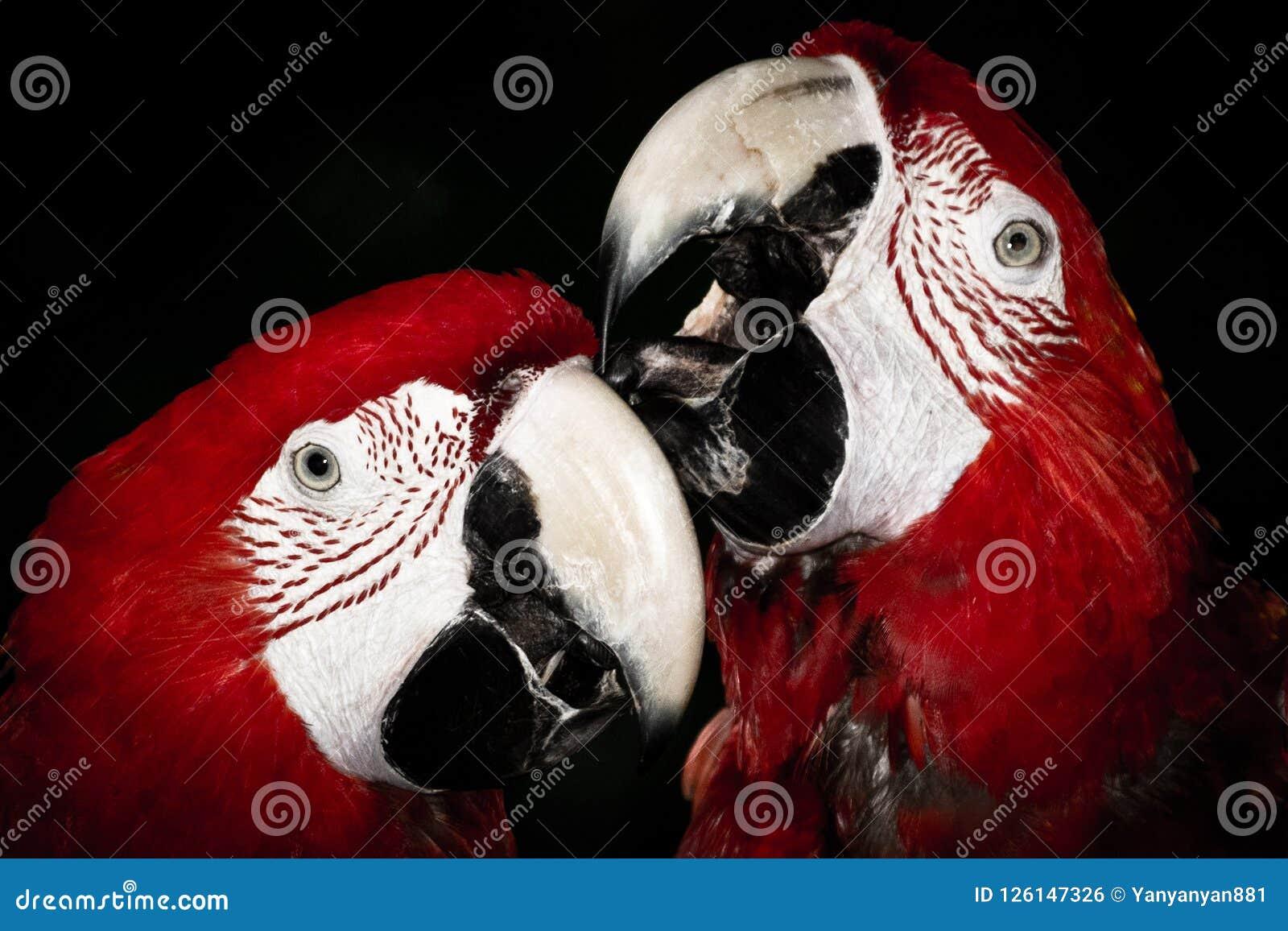 Ein Paar rote Papageien