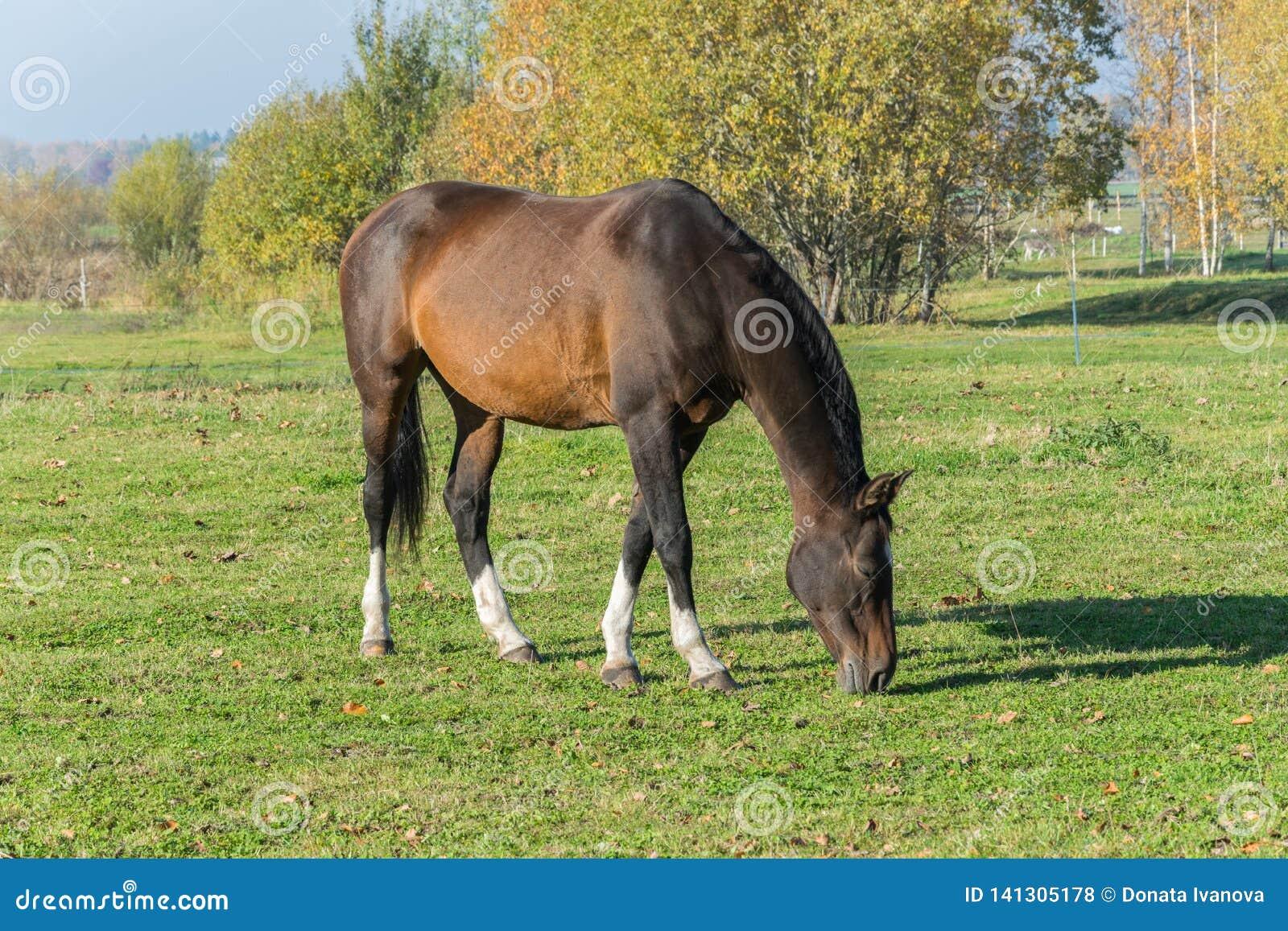 Ein Pferd, das in der Wiese weiden lässt Eine schöne Braune