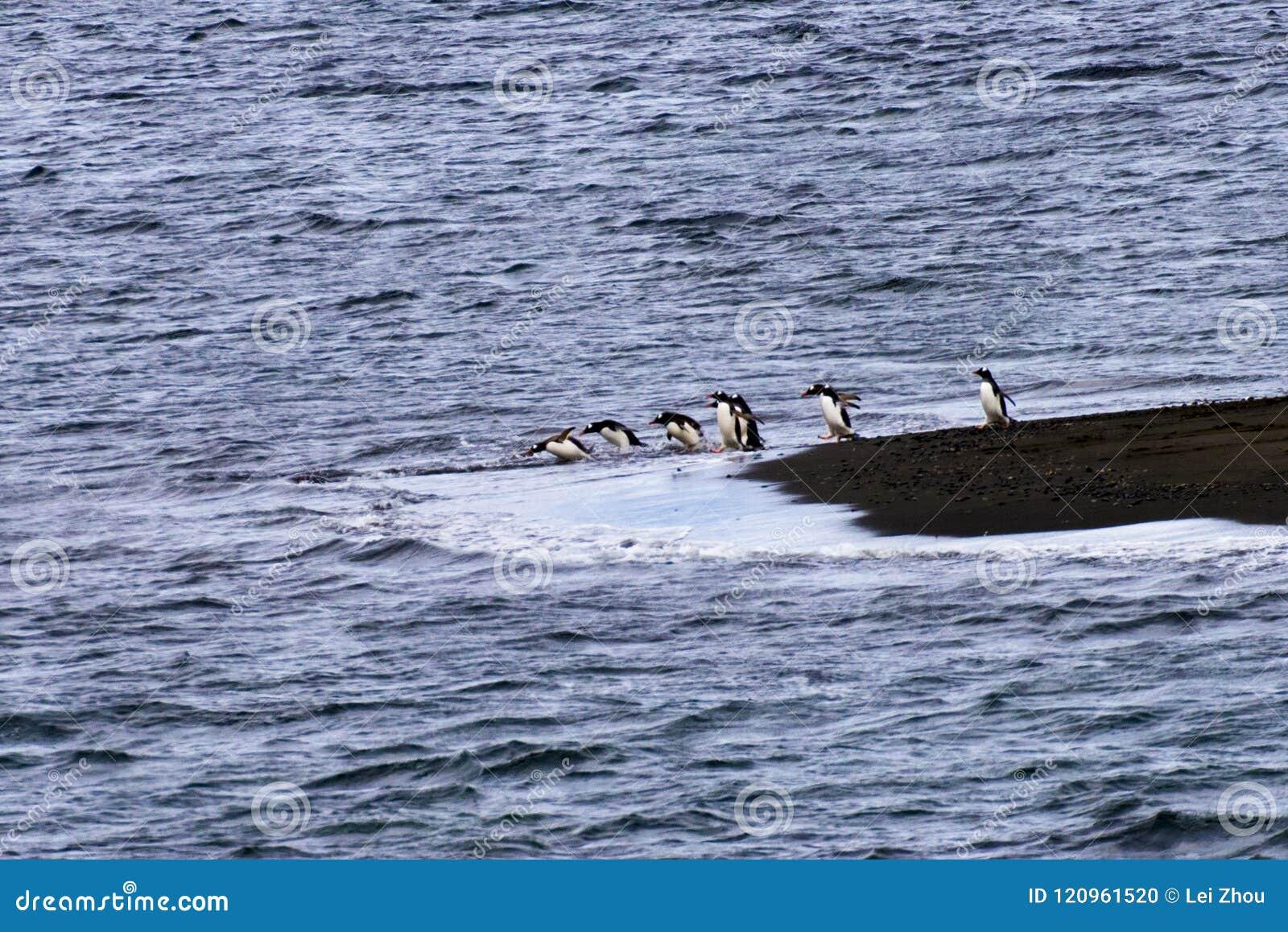 Ein Pinguin mit einer Reihe des Tauchens