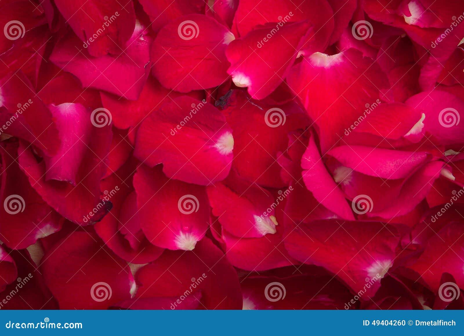 Download Ein Rotes Rosafarbenes Blumenblatt Stockfoto - Bild von unschärfe, blumenblatt: 49404260