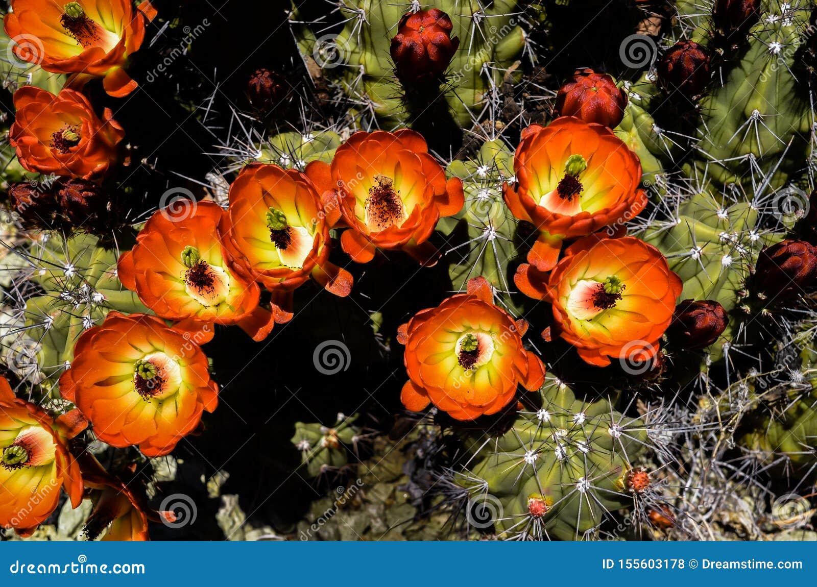 Ein Rotwein-Schalenkaktus zeigt weg seine glänzenden roten, orange und gelben Blumen im Frühjahr in der Sonora-Wüste, Arizona