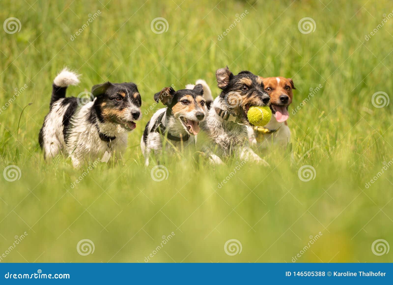 Ein Satz von Jack Russell Terrier laufend und auf einer Wiese spielend