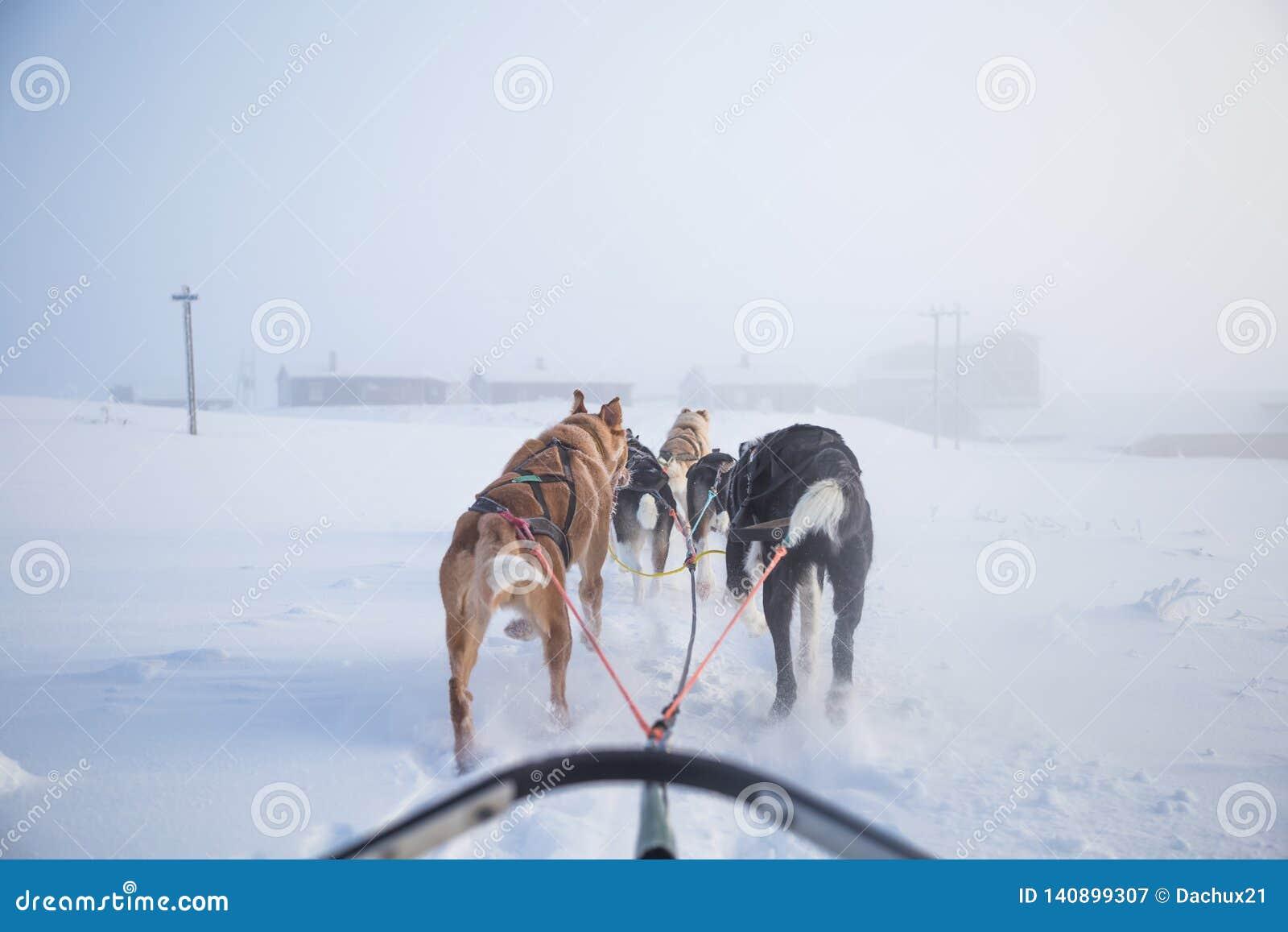 Ein schöner sechs Hund gießen das Ziehen eines Schlittens aus Foto gemacht vom Sitzen in der Schlittenperspektive Spaß, gesunder