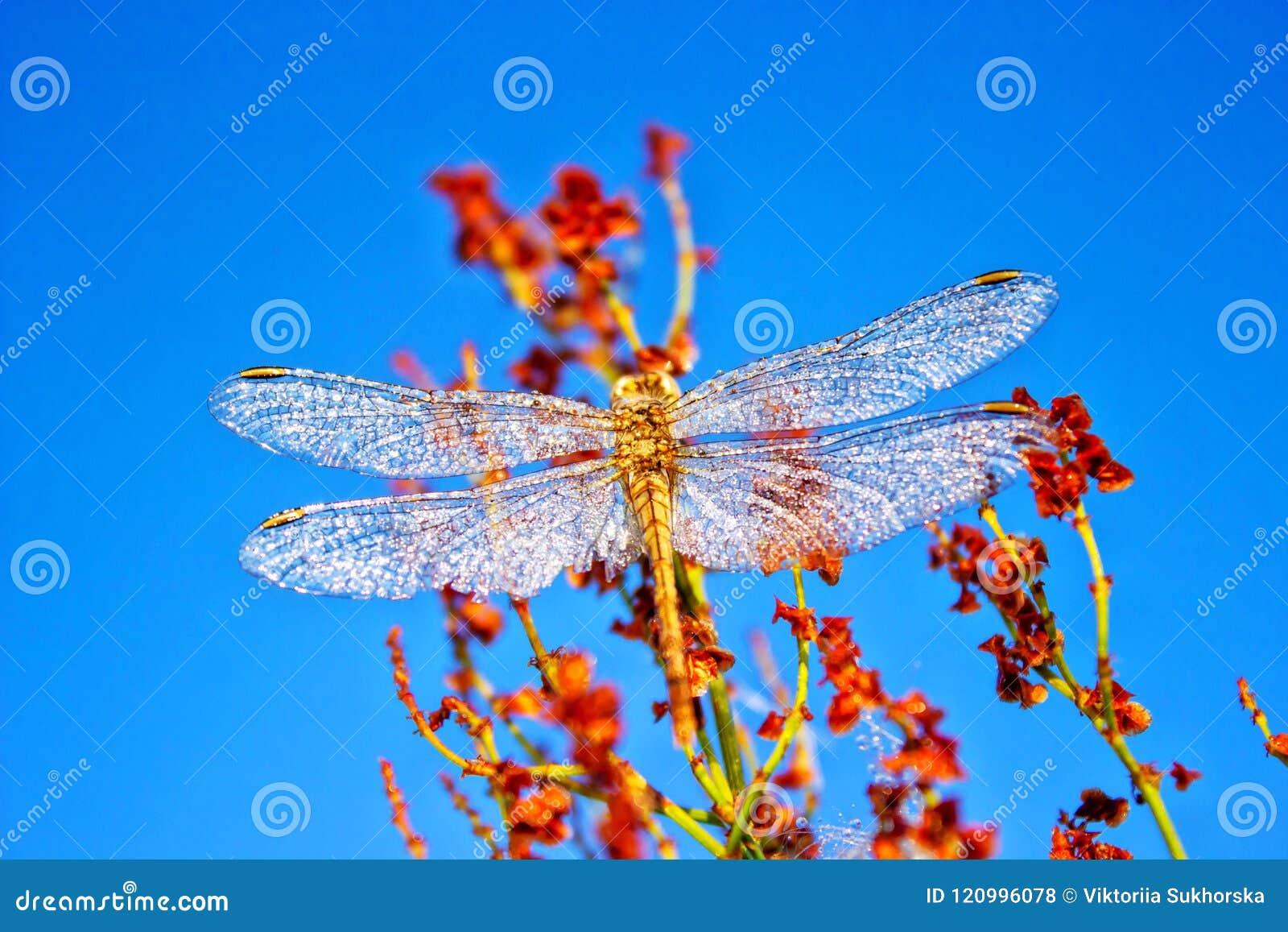 Ein schönes Insekt einer Libelle Sympetrum Vulgatum gegen einen Hintergrund eines Hintergrundes des blauen Himmels tonen