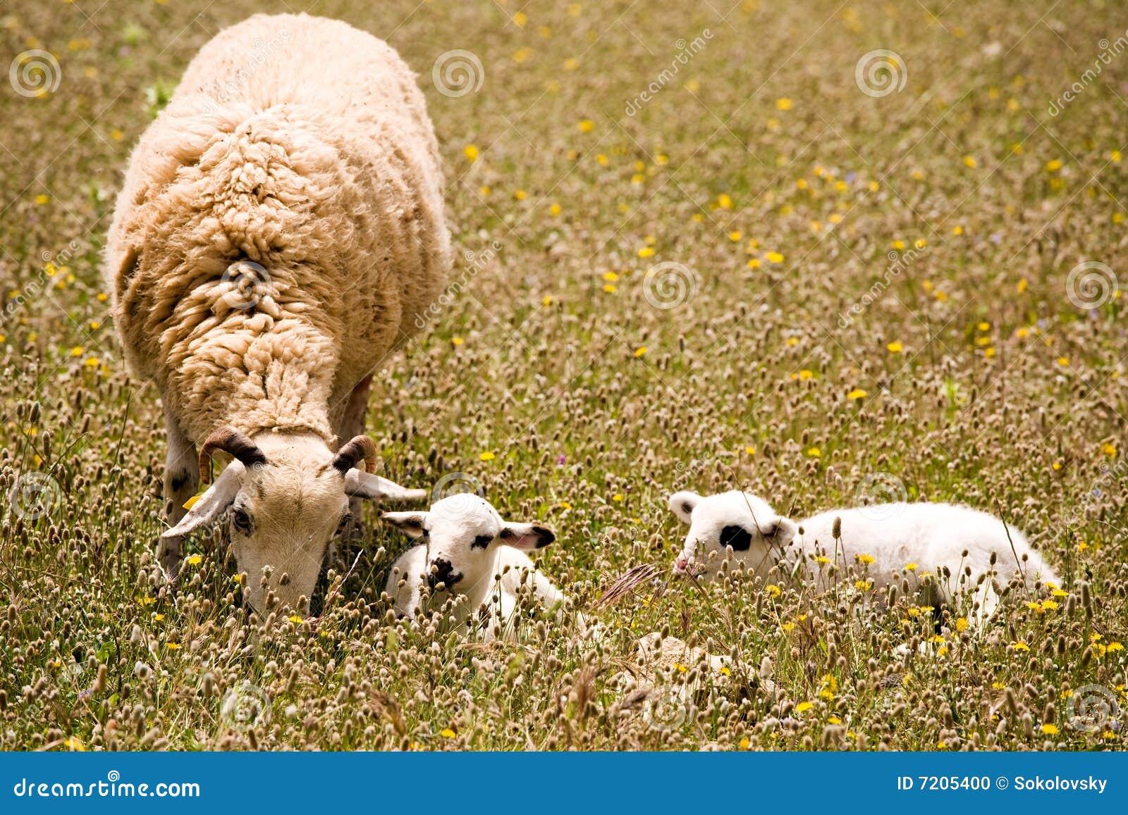 Ein Schaf mit zwei netten kleinen Lämmern auf Wiese