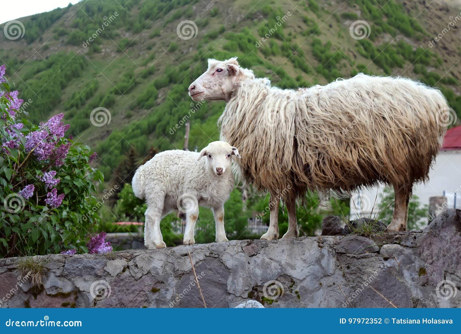 Ein Schaf und ein Lamm im Bergdorf