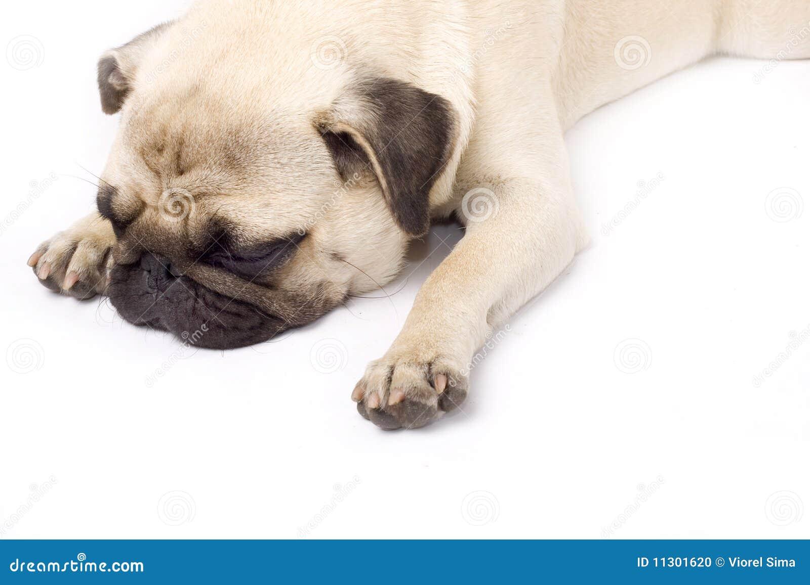 Ein schmollender Pug, getrennt auf Weiß