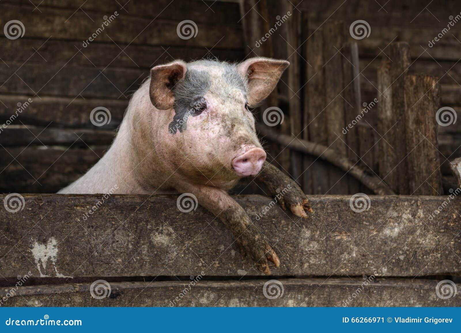Ein Schmutziges Schwein Das An Einem Zaun Hangt Stockbild Bild