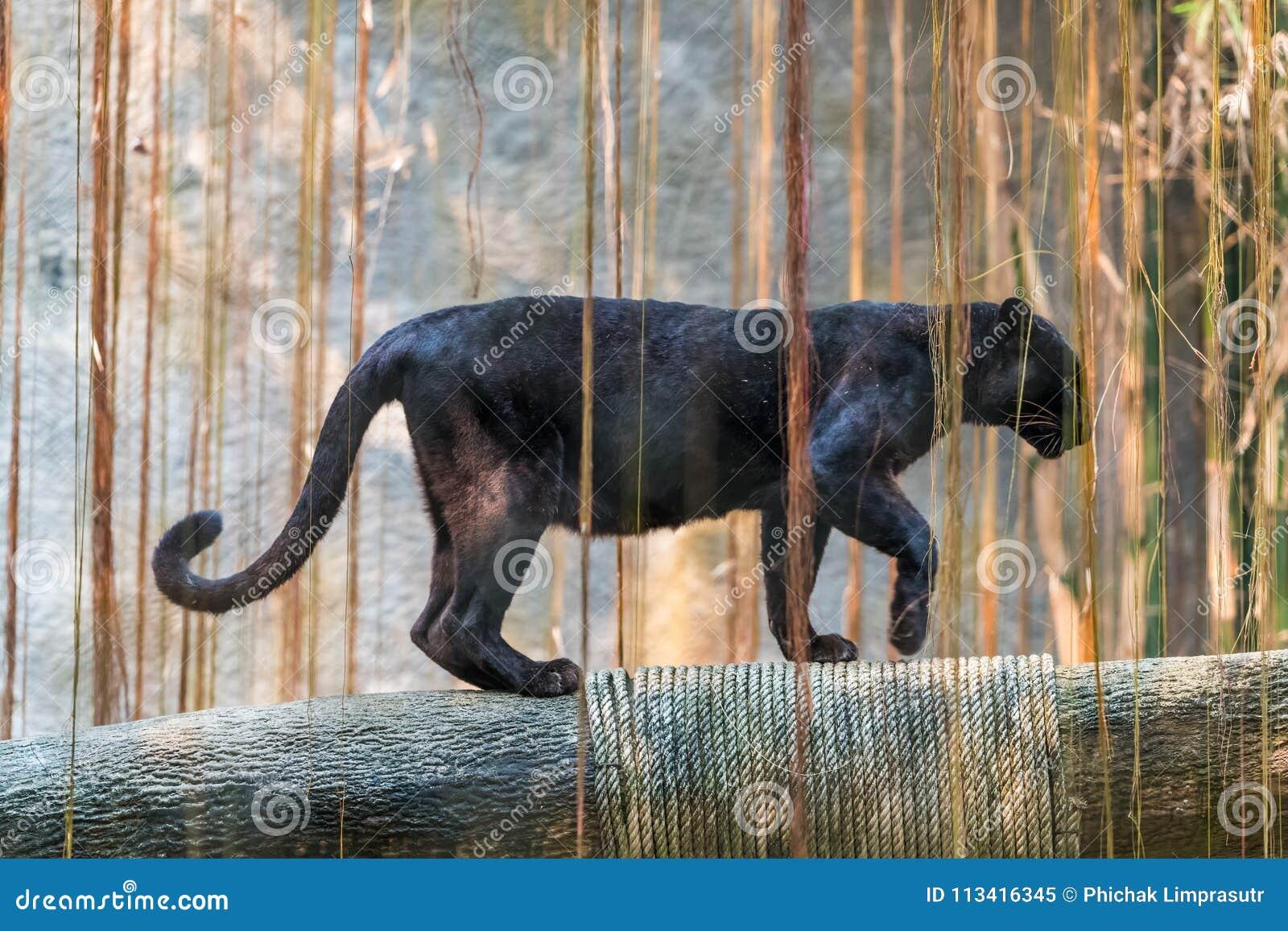 Ein schwarzer Panther ist die melanistic Farbvariante der großen Katze