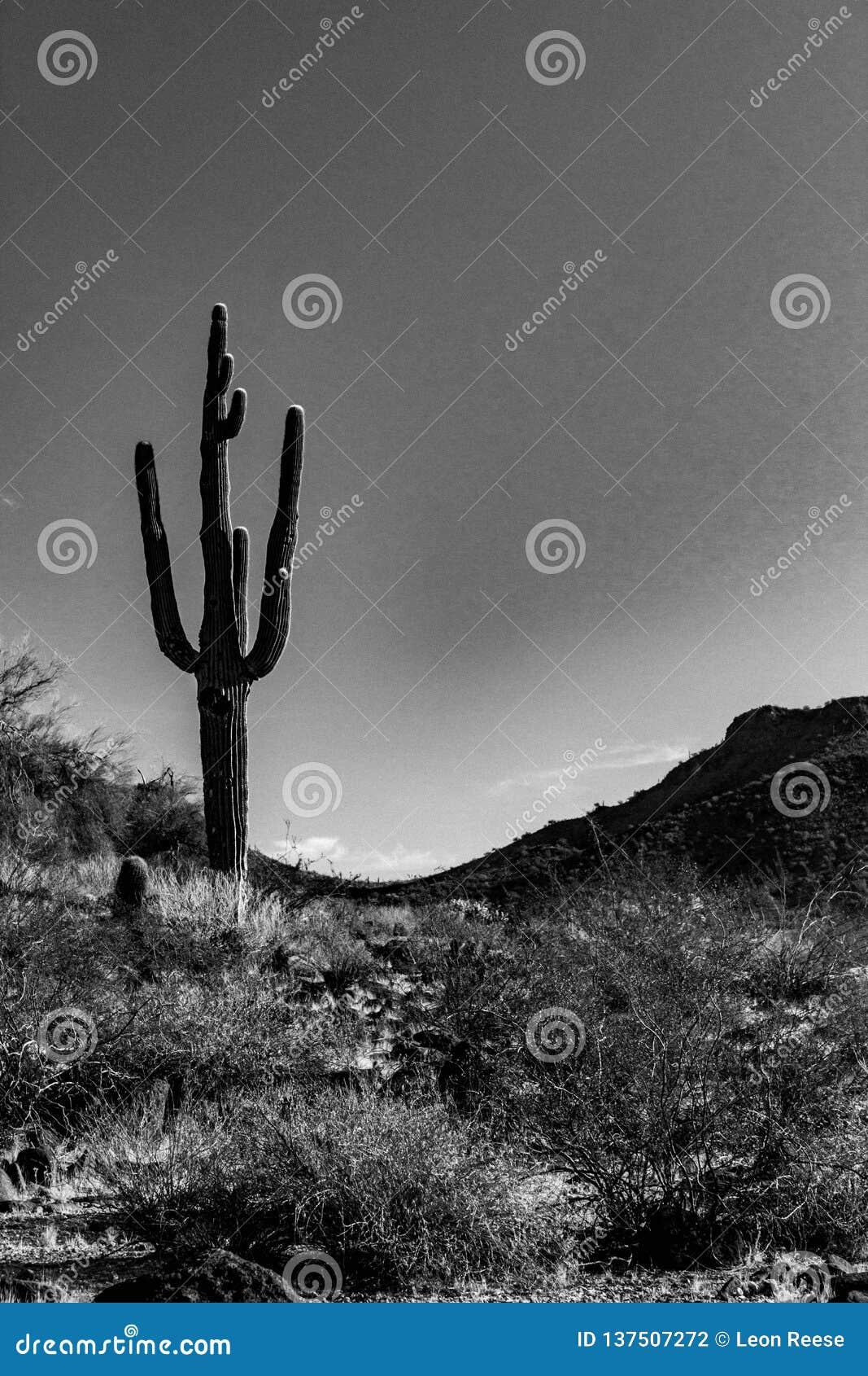 Ein schwermütiges, Schwarzweiss-Foto eines einzigen Saguaro-Kaktus in einem Tal zwischen zwei Hügeln