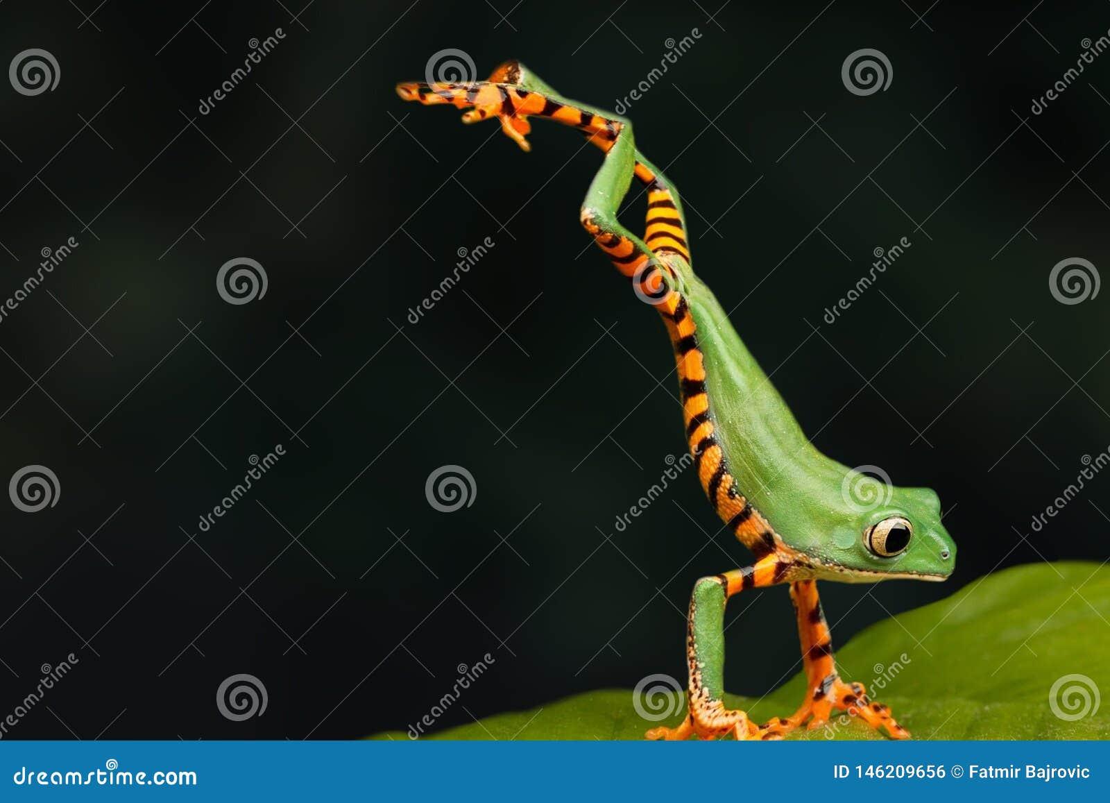 Ein sehr interessanter Moment in der Natur Abschluss des grünen Frosches oben Der Frosch springt auf ein grünes Blatt Dunkler Hin
