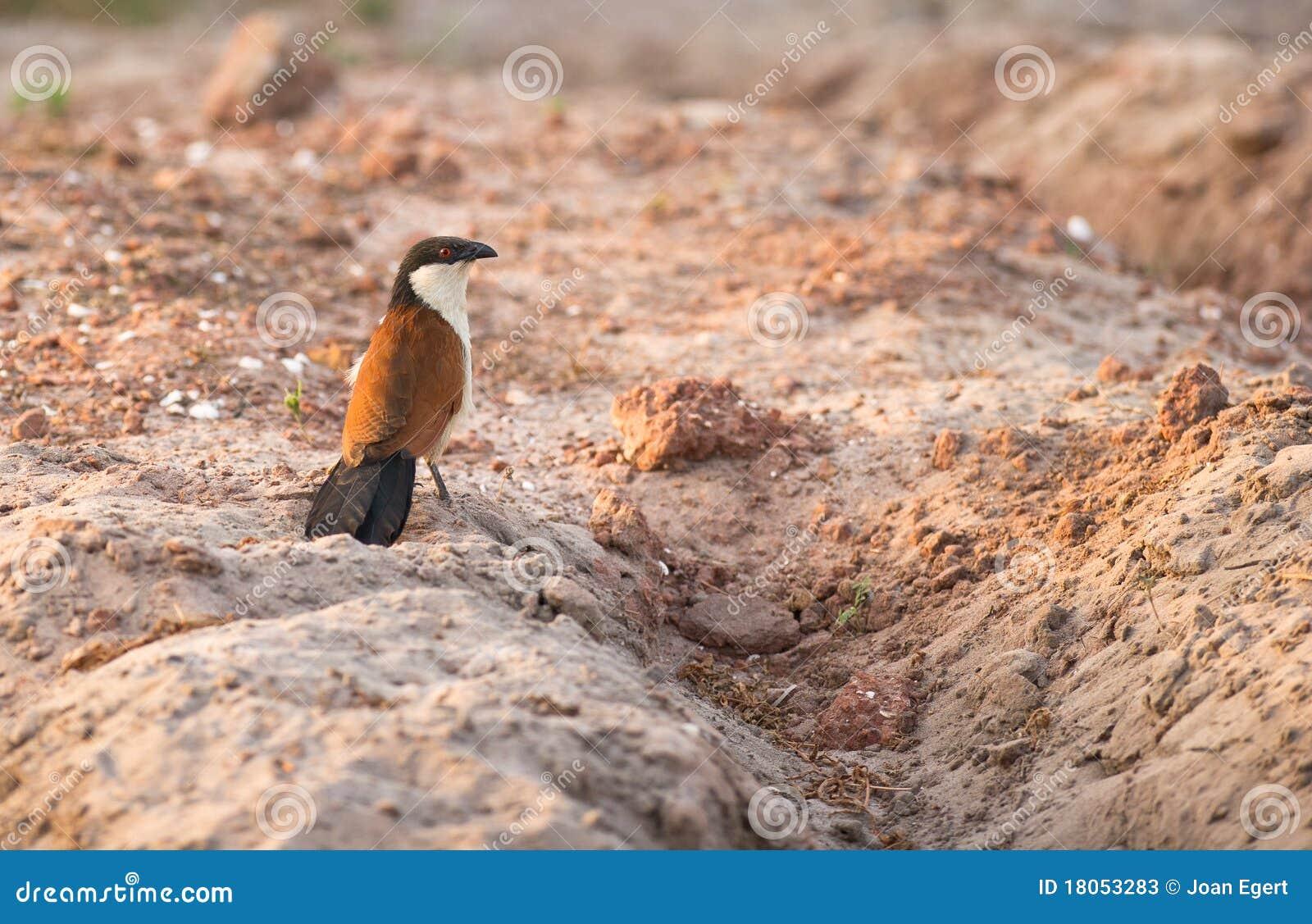 Ein Senegal Coucal, das den Boden überprüft
