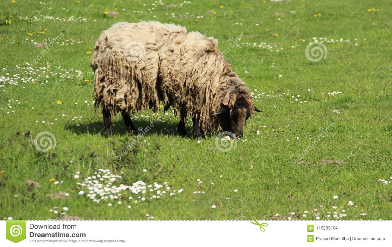 Ein Shaggy Sheep Graze With Happiness