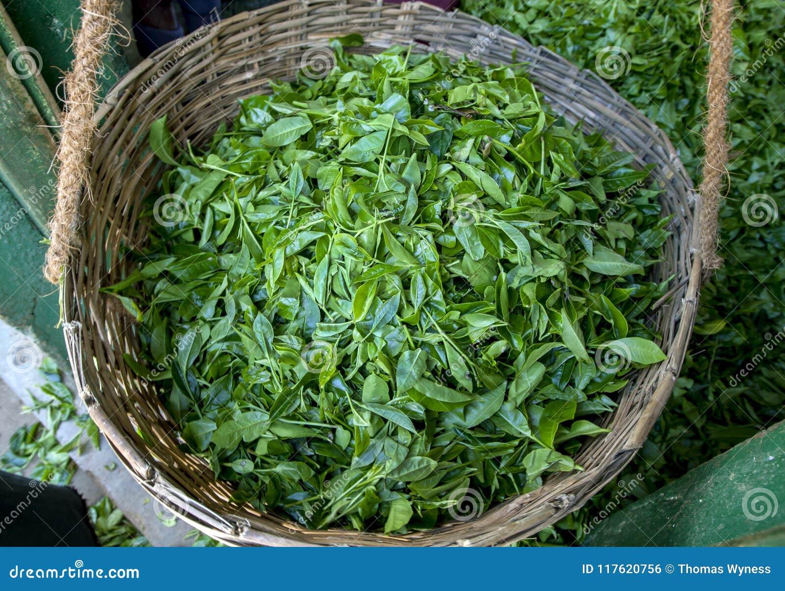 Ein Stockkorb füllte mit einer Ernte von frischen grünen Teeblättern an Region Nuwara Eliya von Sri Lanka