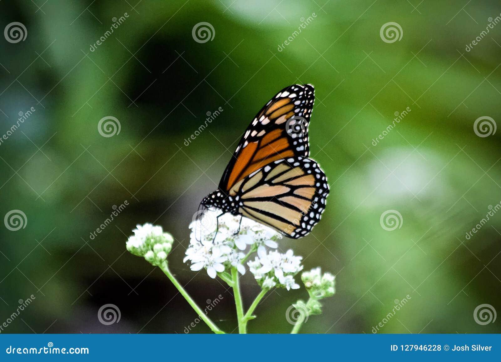 Ein trinkender Nektar des Monarchfalters von den weißen Blumen