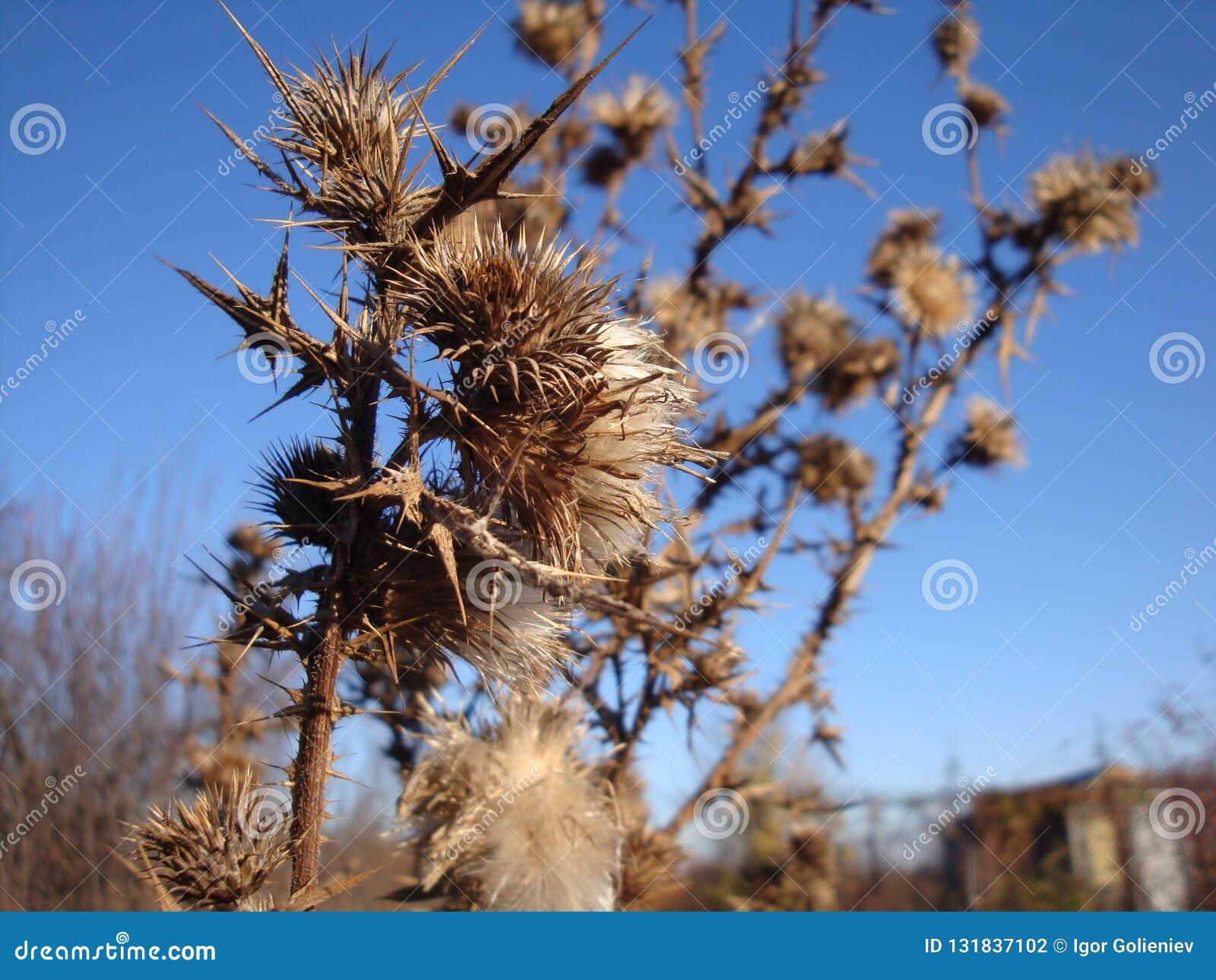 Ein trockener und stacheliger Dornenbusch auf einem trockenen Feld