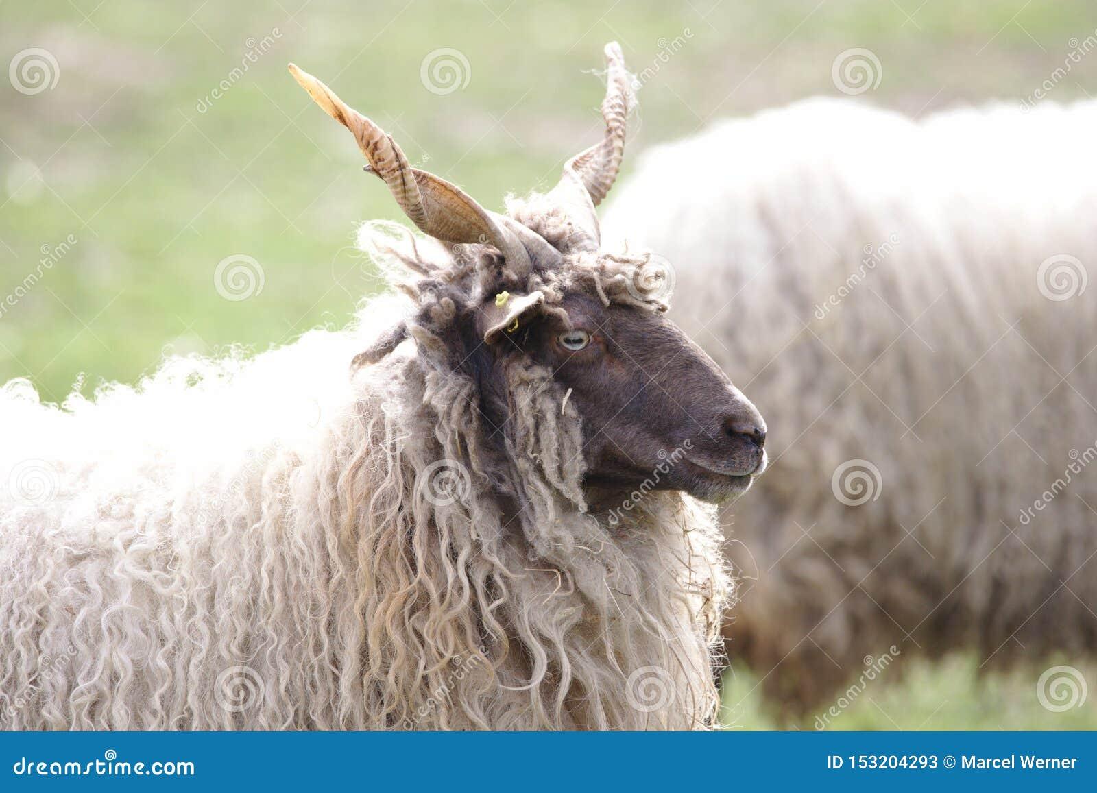 Ein ungarisches racka Schafaufpassen