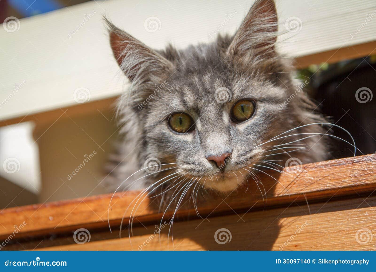 Tabby-Katzen-Gesicht