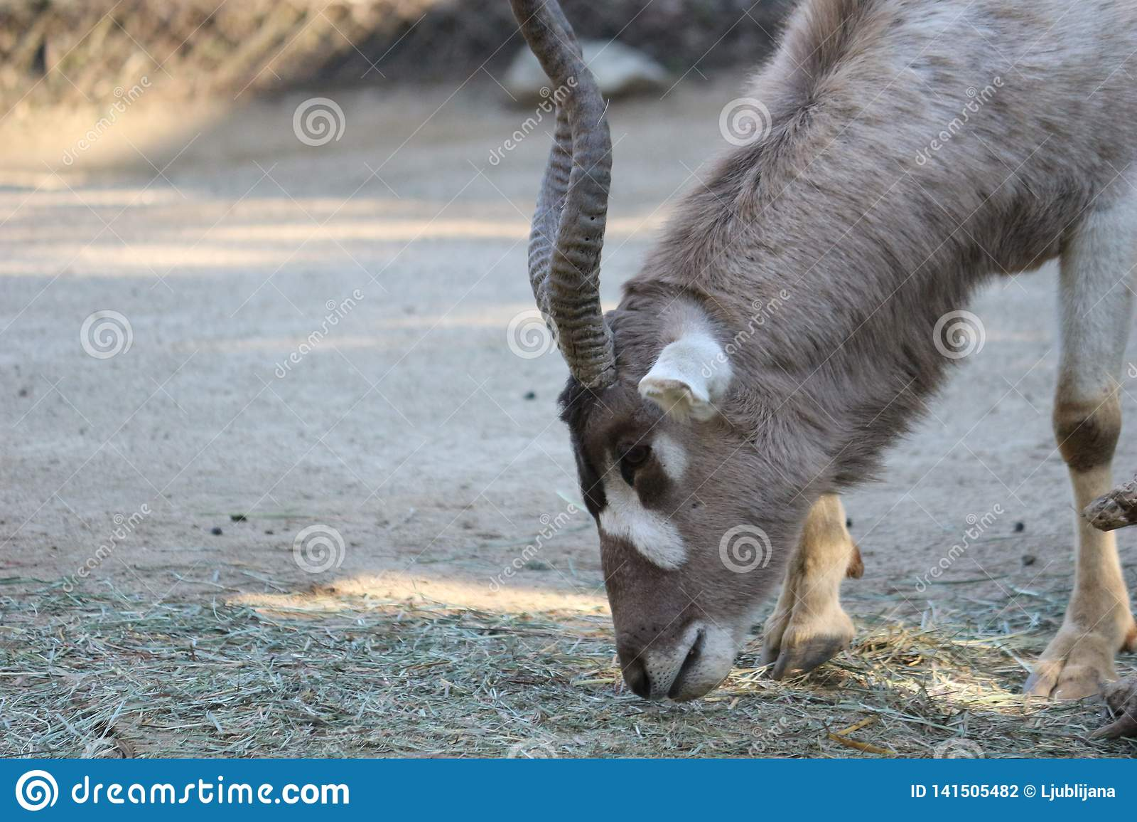 Ein Wüstenkuh-Wüstenkuh nasomaculatus Alias eine weiße Antilope oder Screwhorn-Antilope