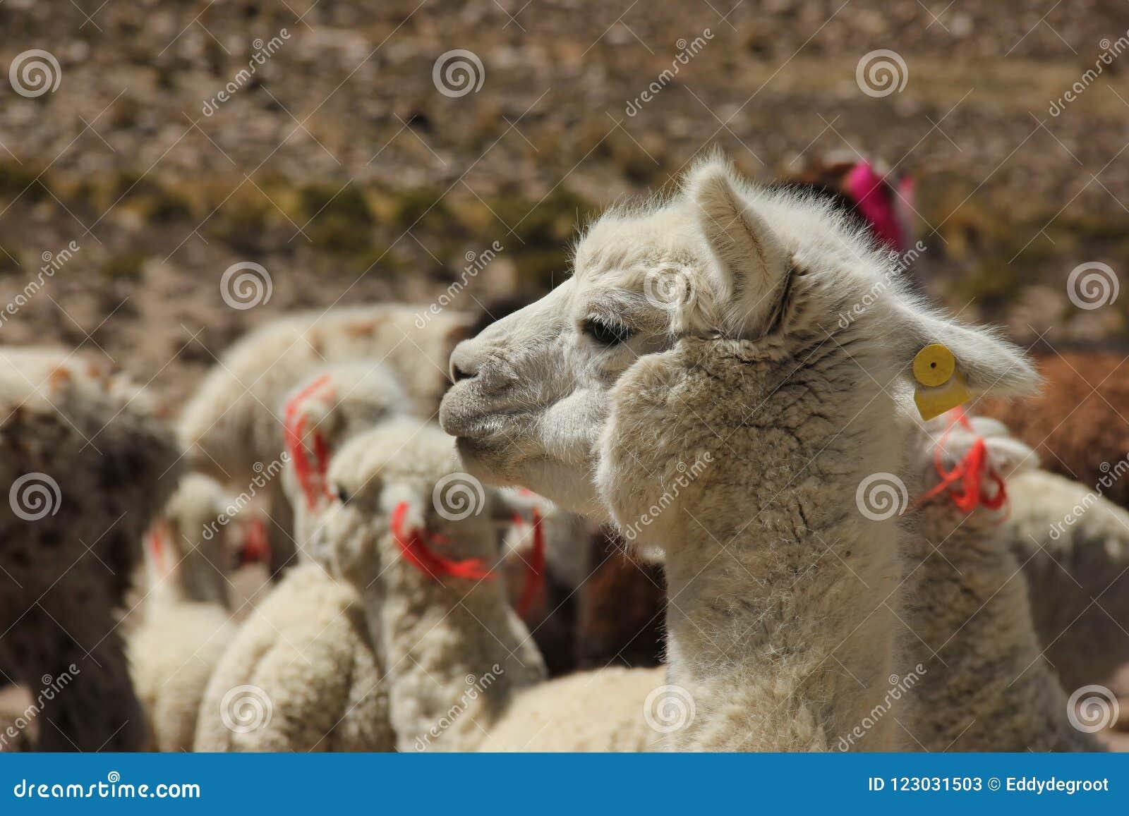 Ein weißes Alpaka in einer Herde
