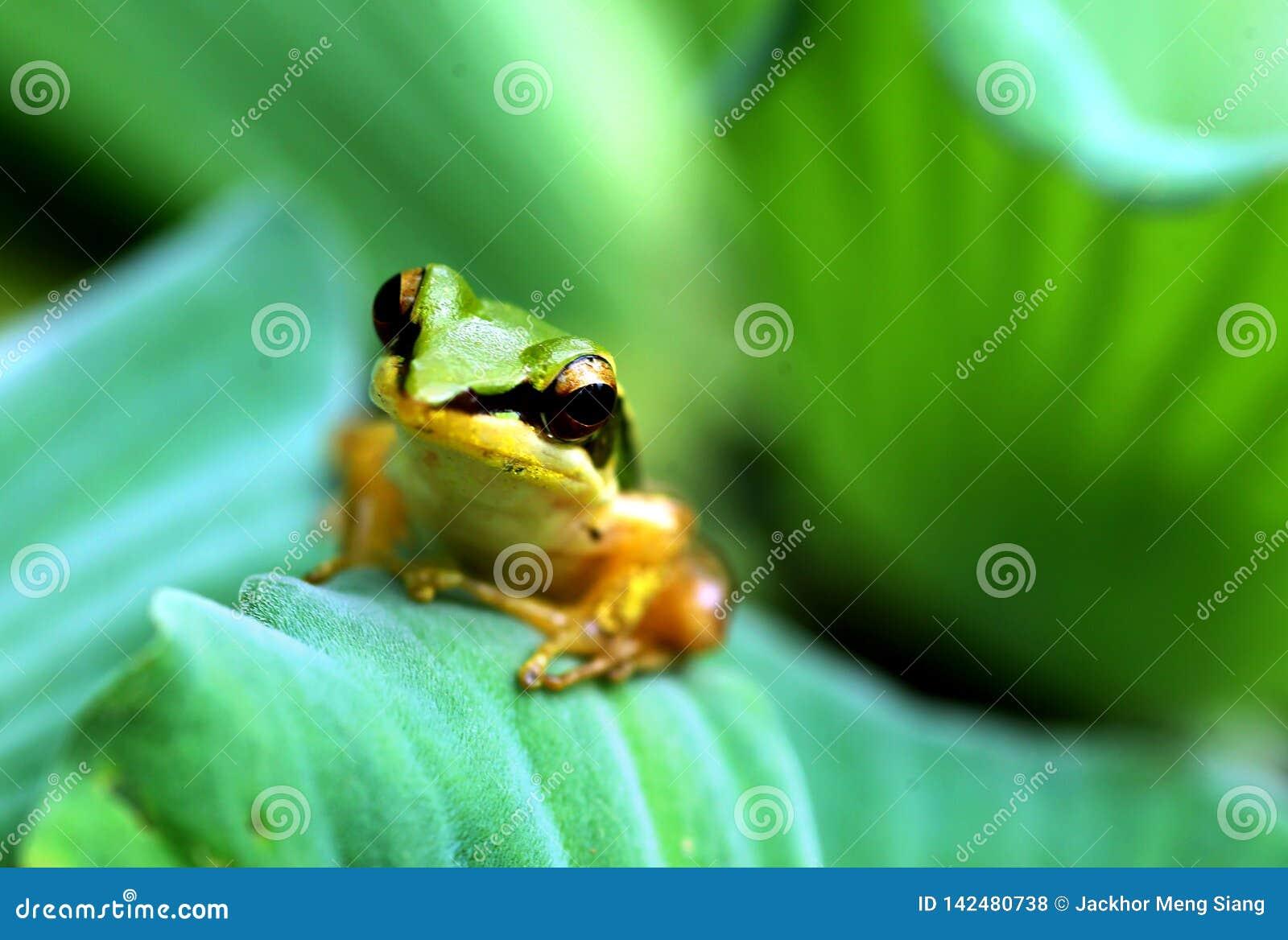 Ein weniger Frosch auf Lotosblatt