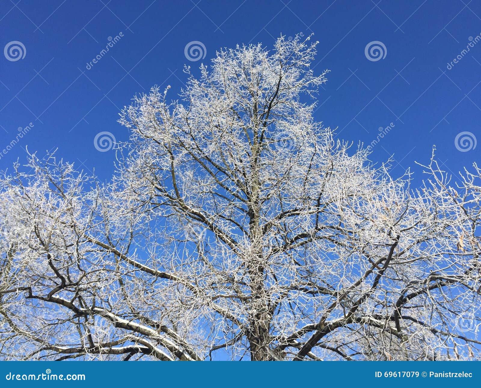 Ein Winterbaum mit Raureif und dem blauen Himmel