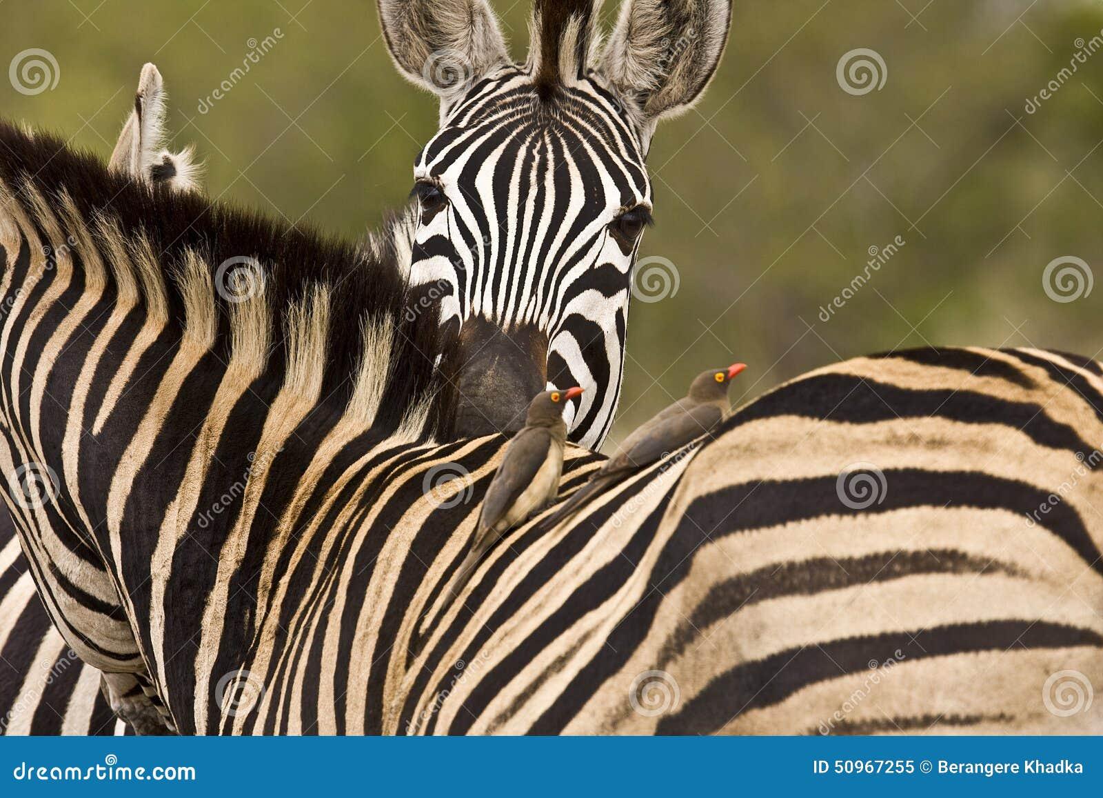 Ein zarter Moment für zwei Zebras im Busch, Nationalpark Kruger, Südafrika