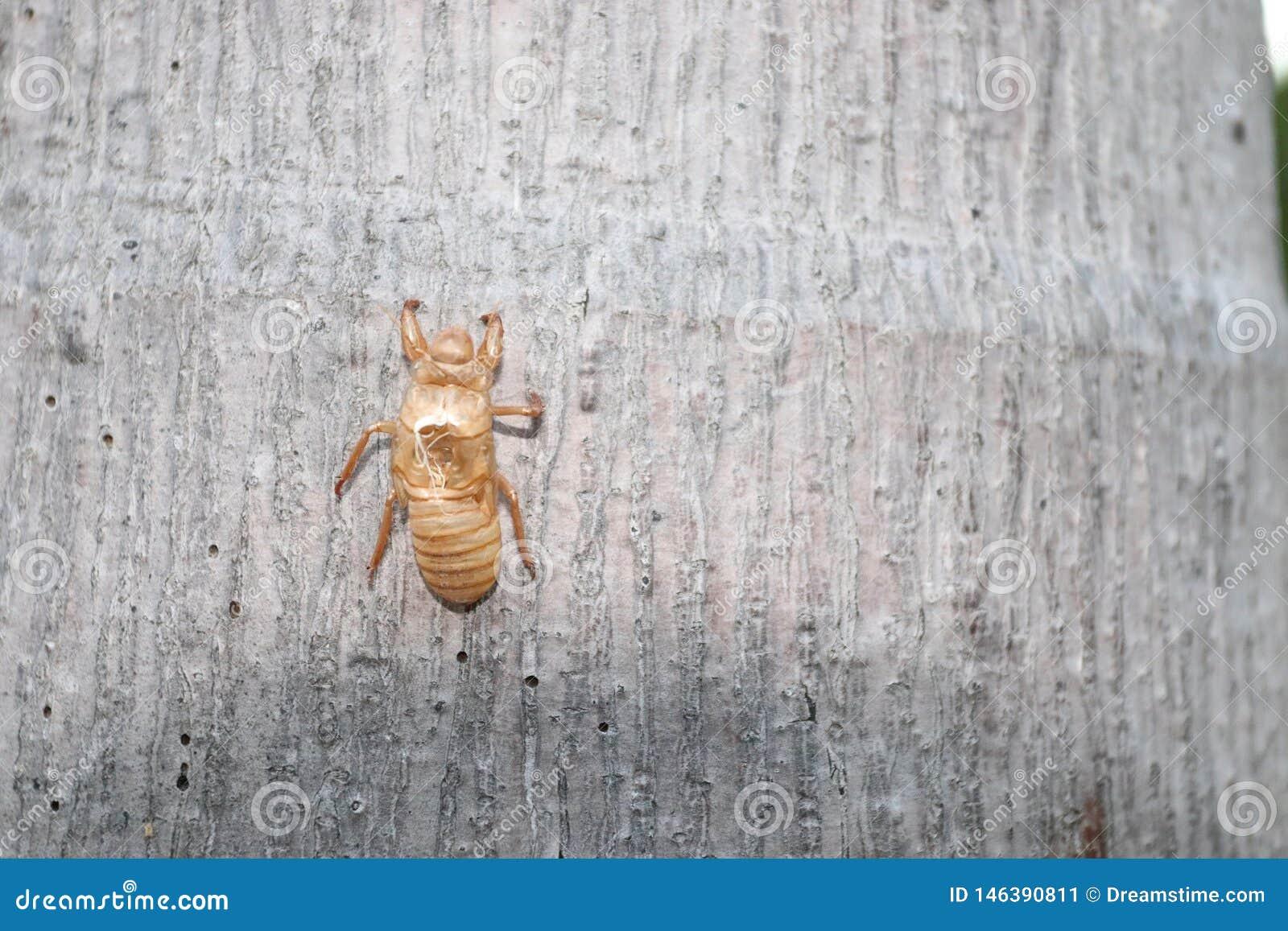Ein Zikadenoberteilfall auf Baumstamm