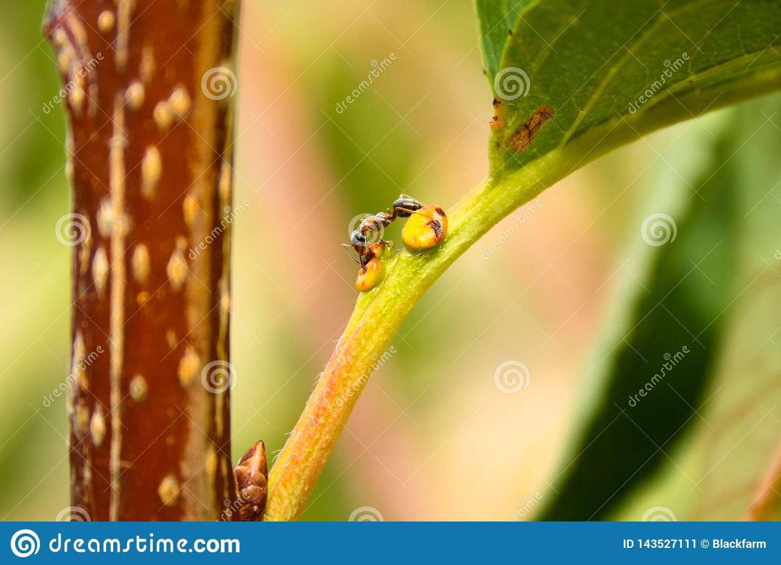 Eine Ameise sucht nach Nahrung für einen Baum