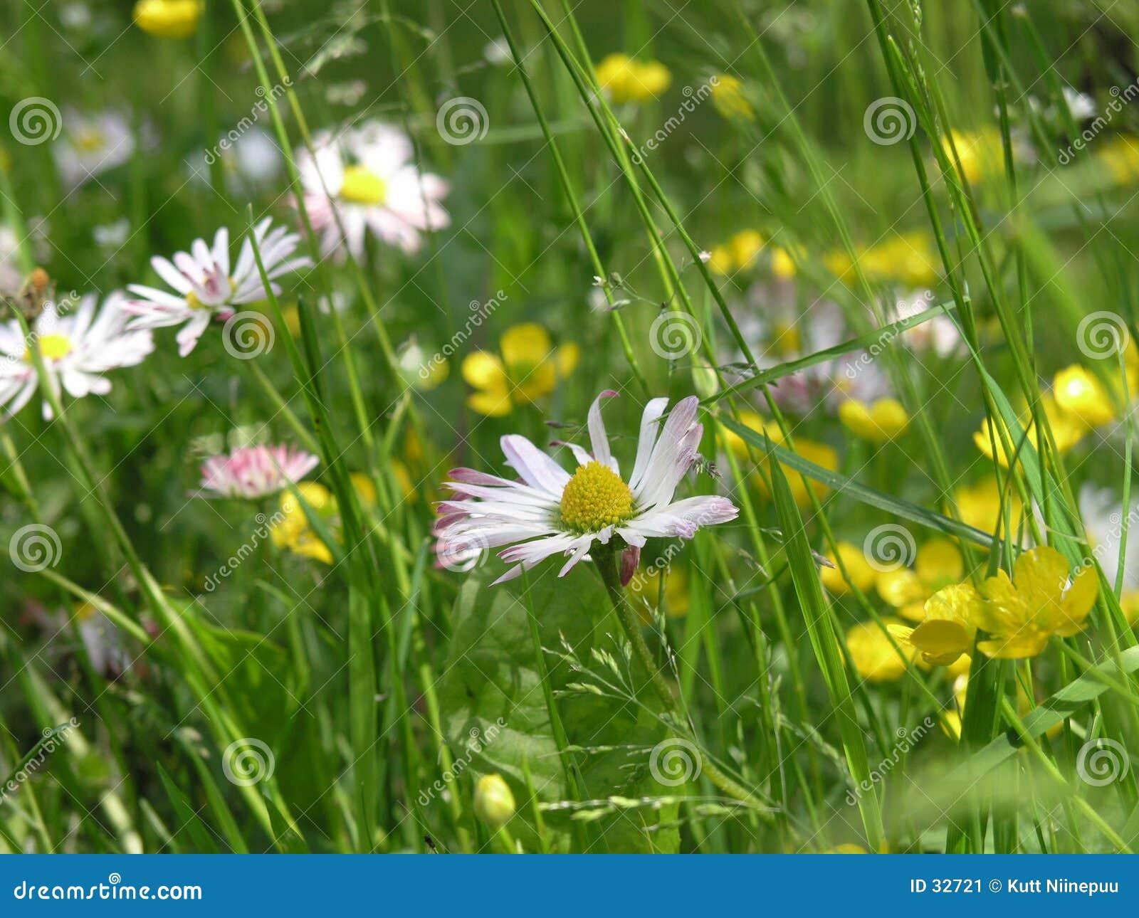 Download Eine andere Wiese stockbild. Bild von gras, weiß, blumen - 32721