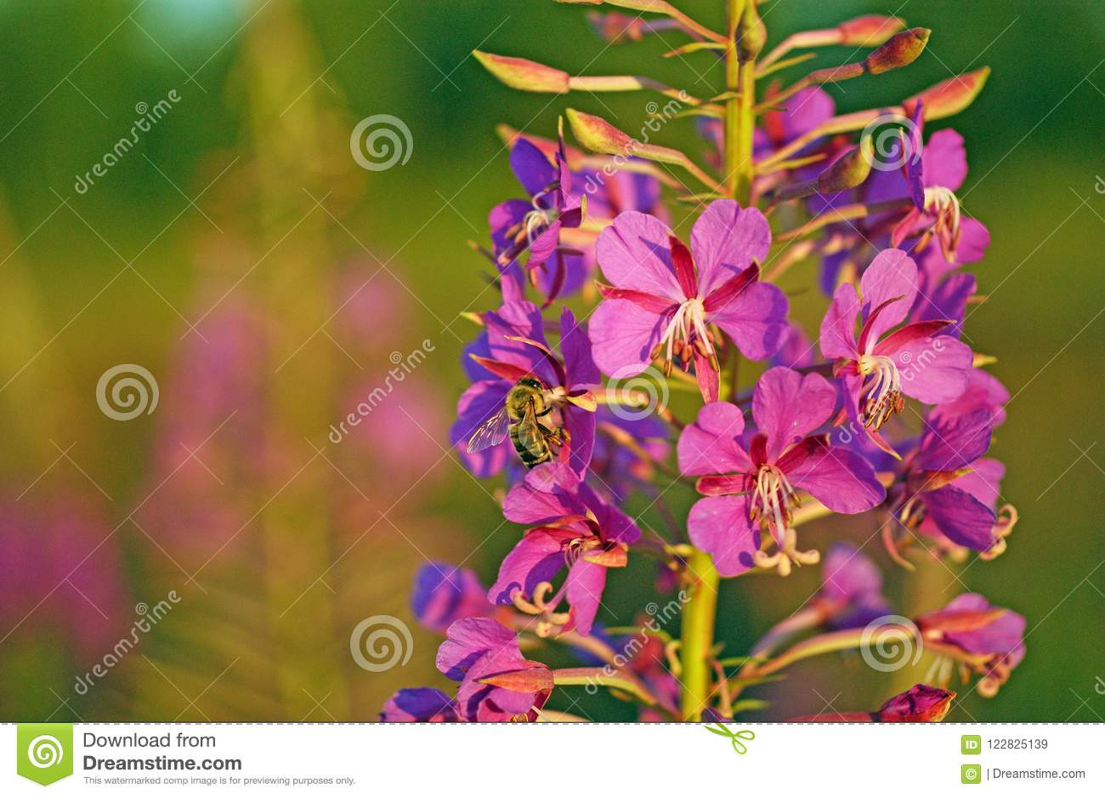 Eine Biene sammelt Nektar von kiprei Blumen