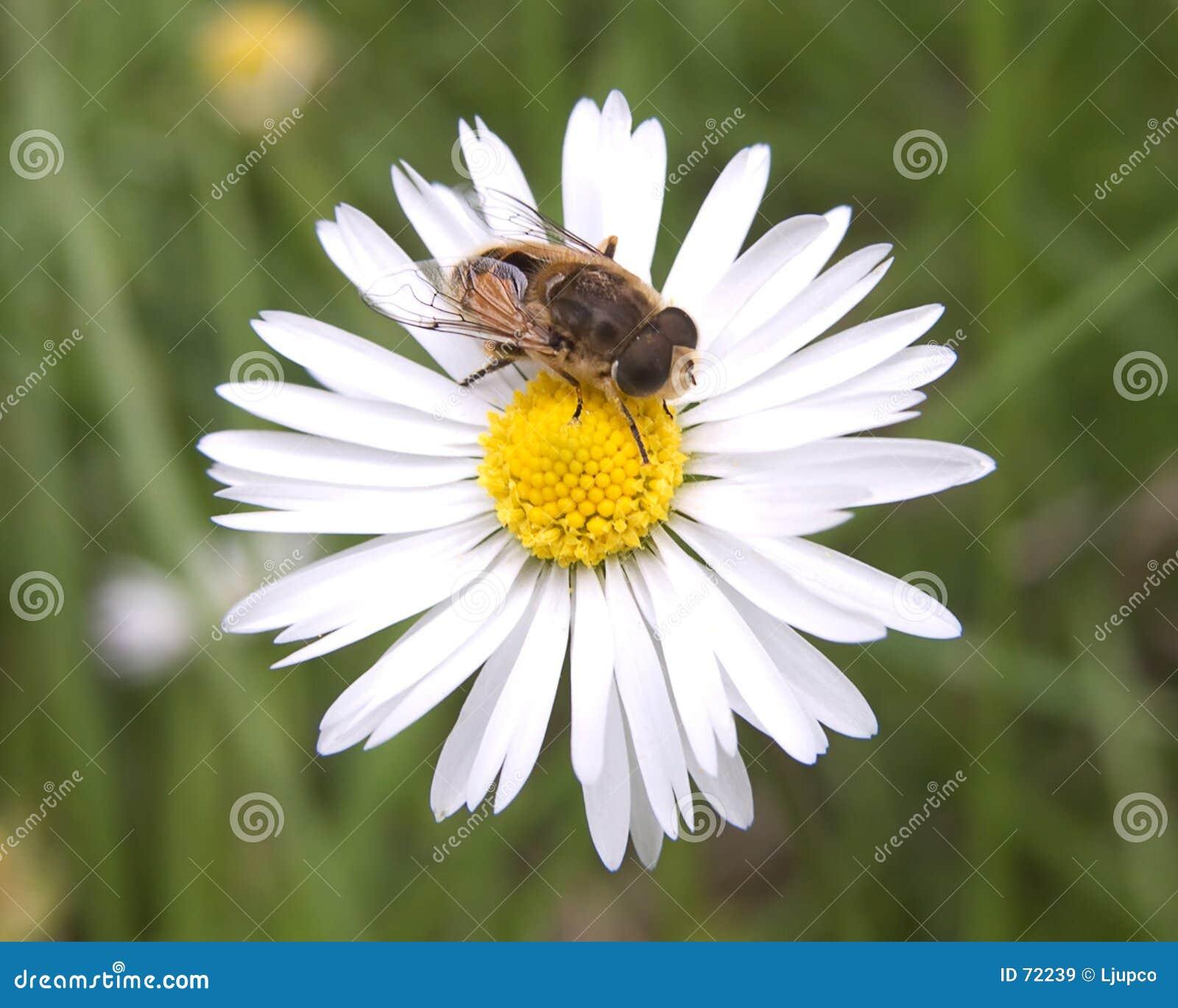 Eine Biene und ein Gänseblümchen